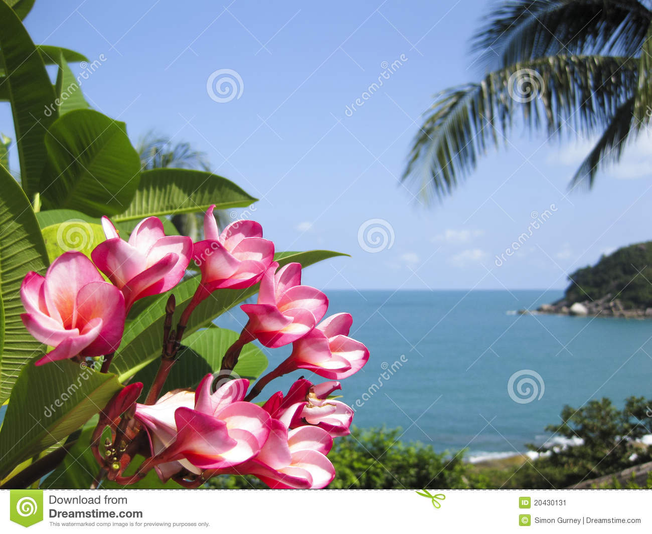 Frangipani tropical flowers koh samui tropical beach thailand