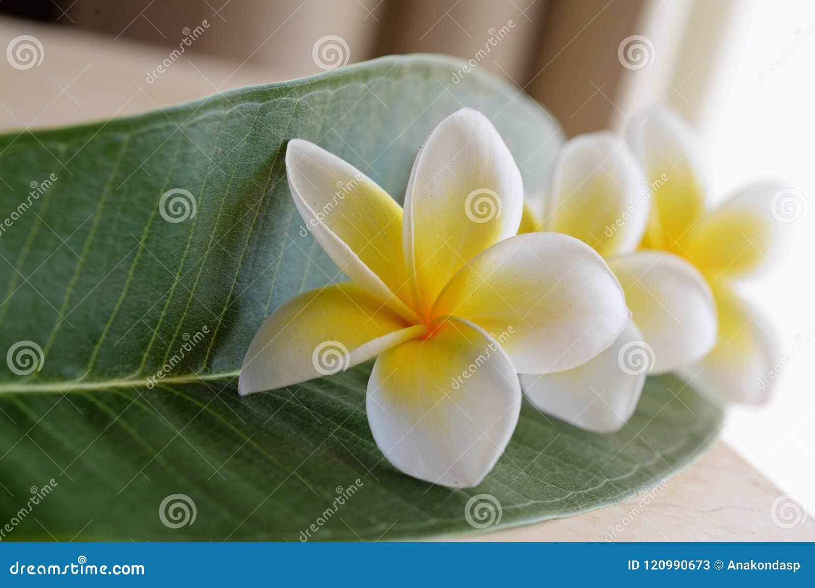 Frangipani tropical flowers plumeria flowers fresh stock image frangipani tropical flowers plumeria flowers fresh izmirmasajfo