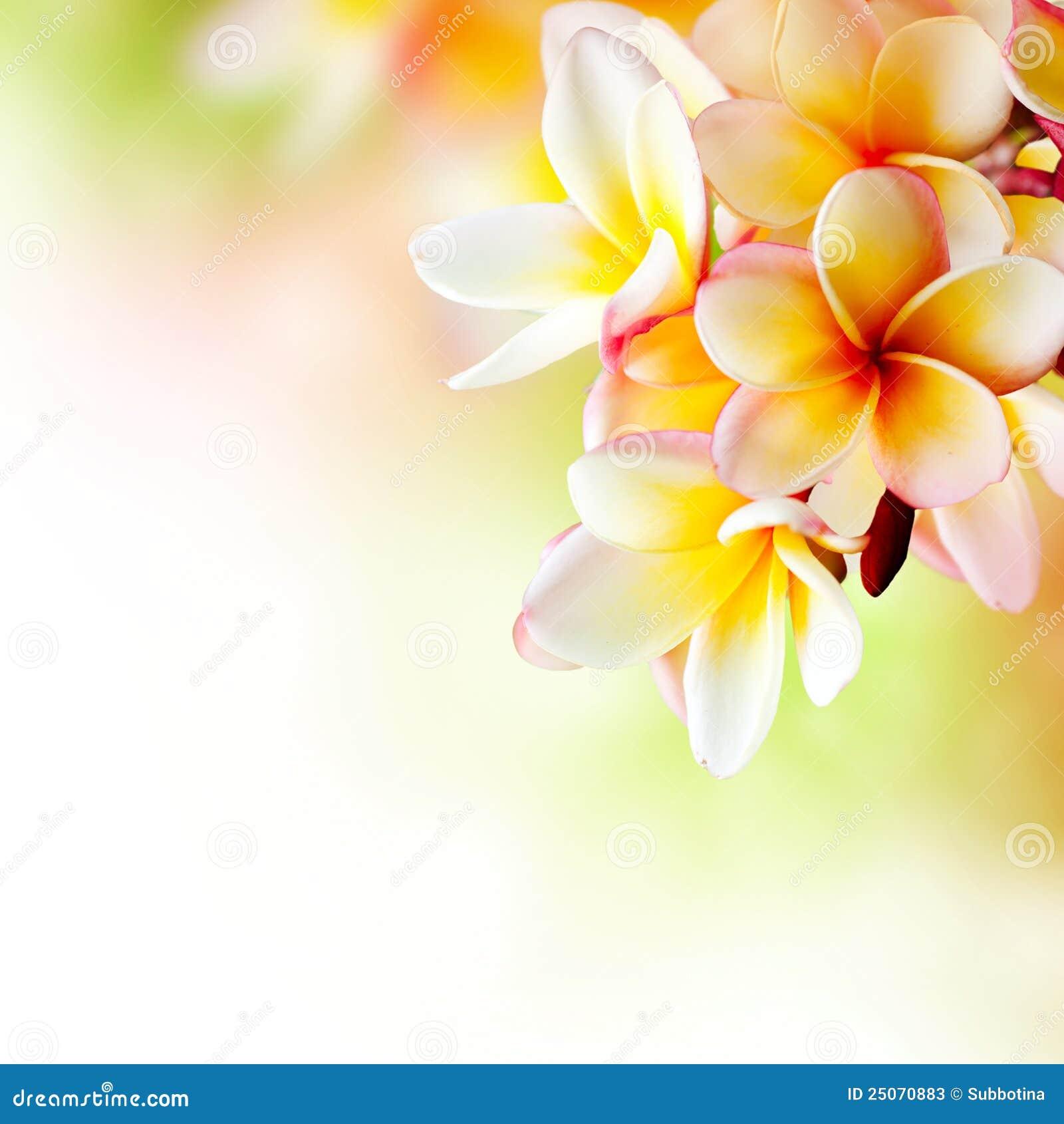 Frangipani spa flowers stock photo image 14654190 - Frangipani Tropical Spa Flower Stock Photos