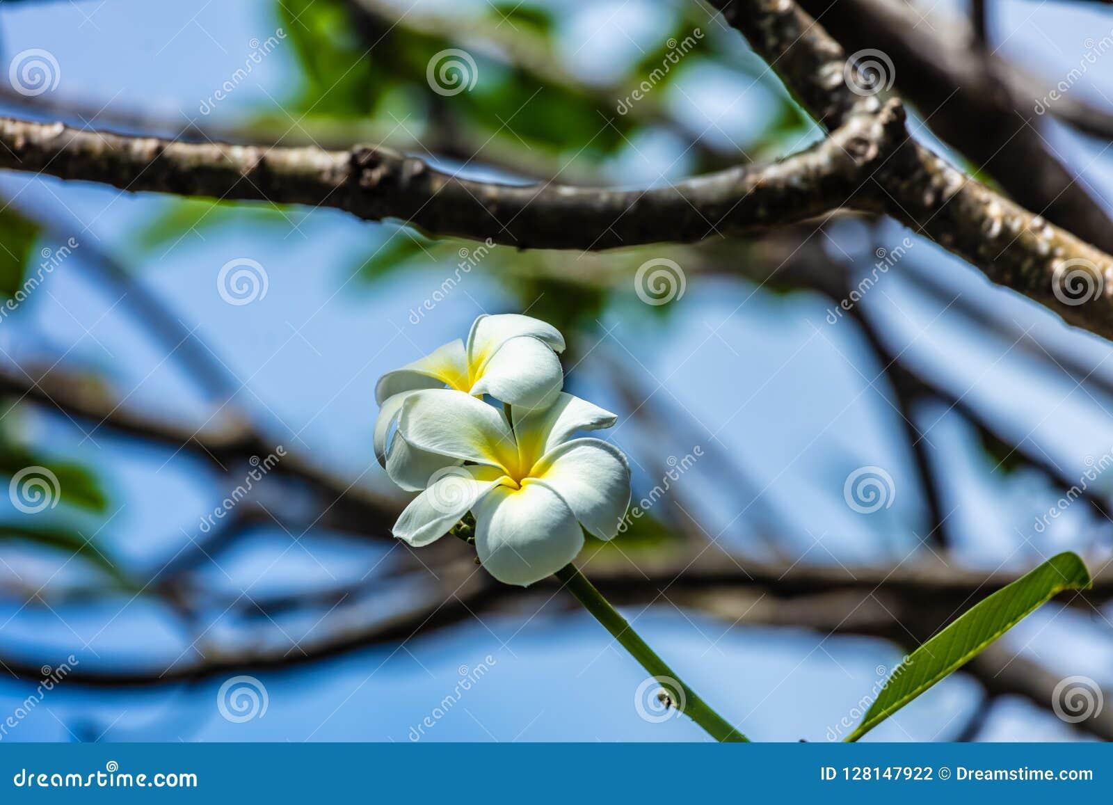 Frangipani von moorea Insel