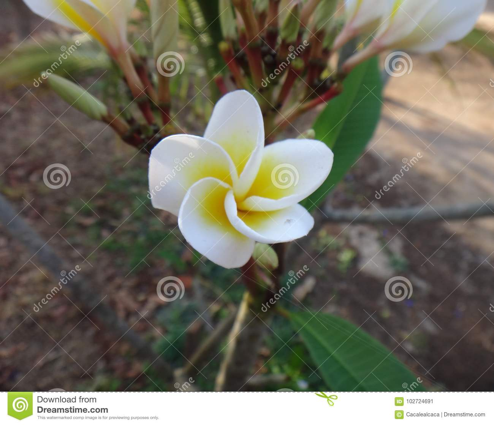 Frangipani - Witte en gele bloem