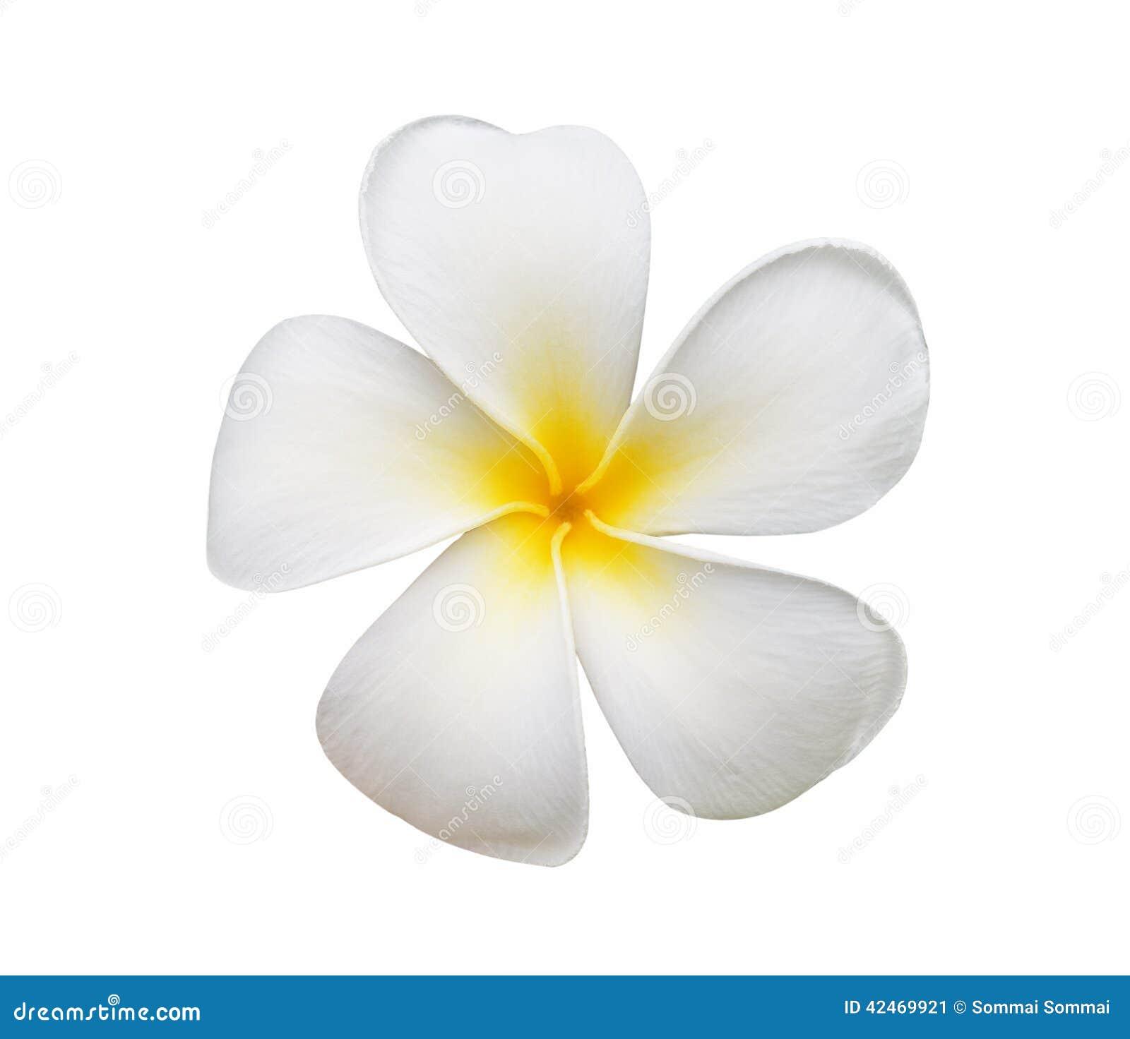 Frangipaniblume auf weißem Hintergrund