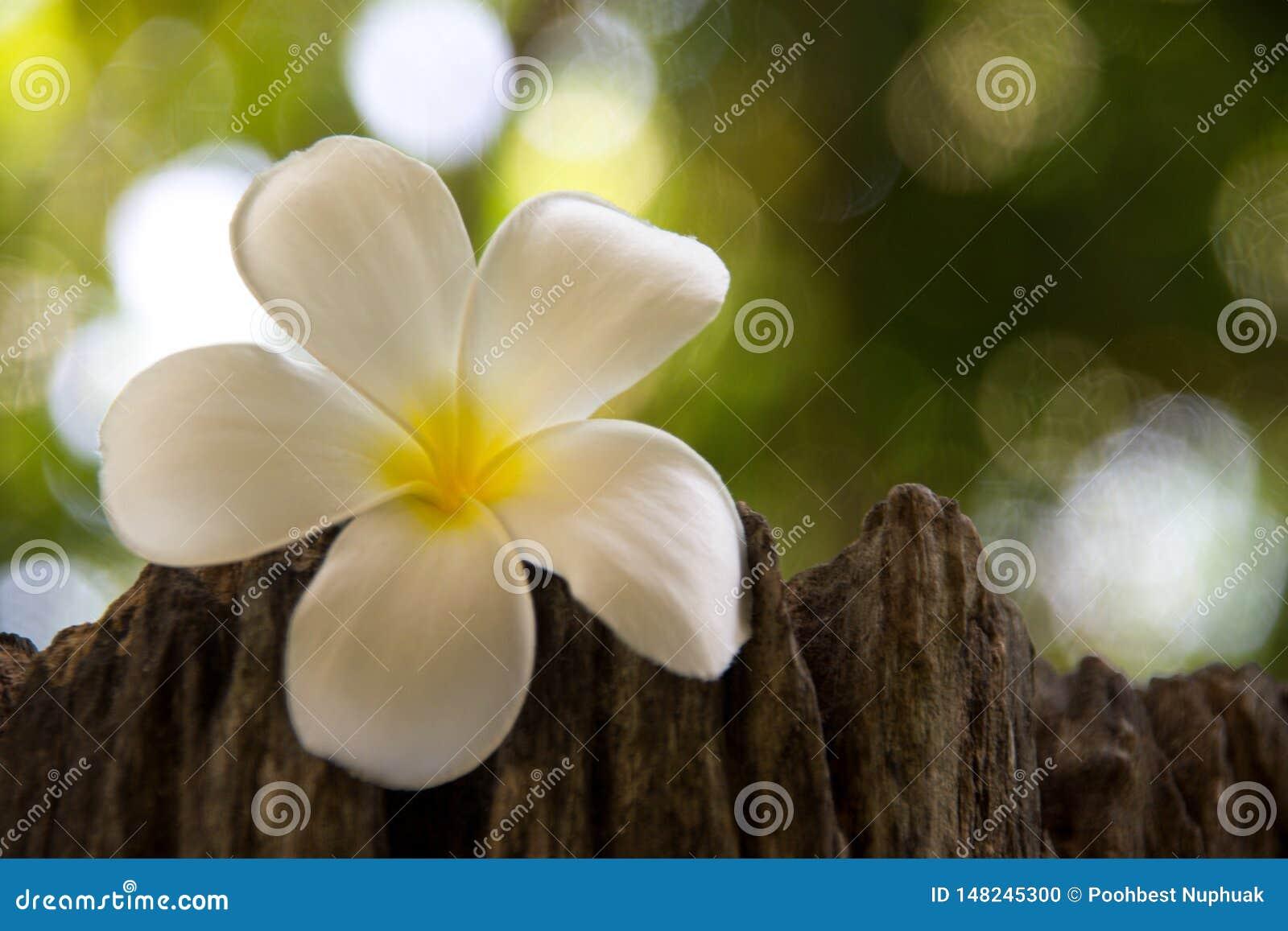 Frangipanien är en blomma av thailändskt 'PA