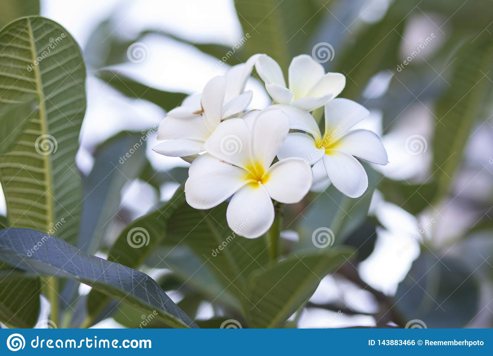 Frangipanien blommar den vita frangipanien och lämnar härligt, begreppet: Spa arom som kopplar av doftsymboler, en bukett av blom