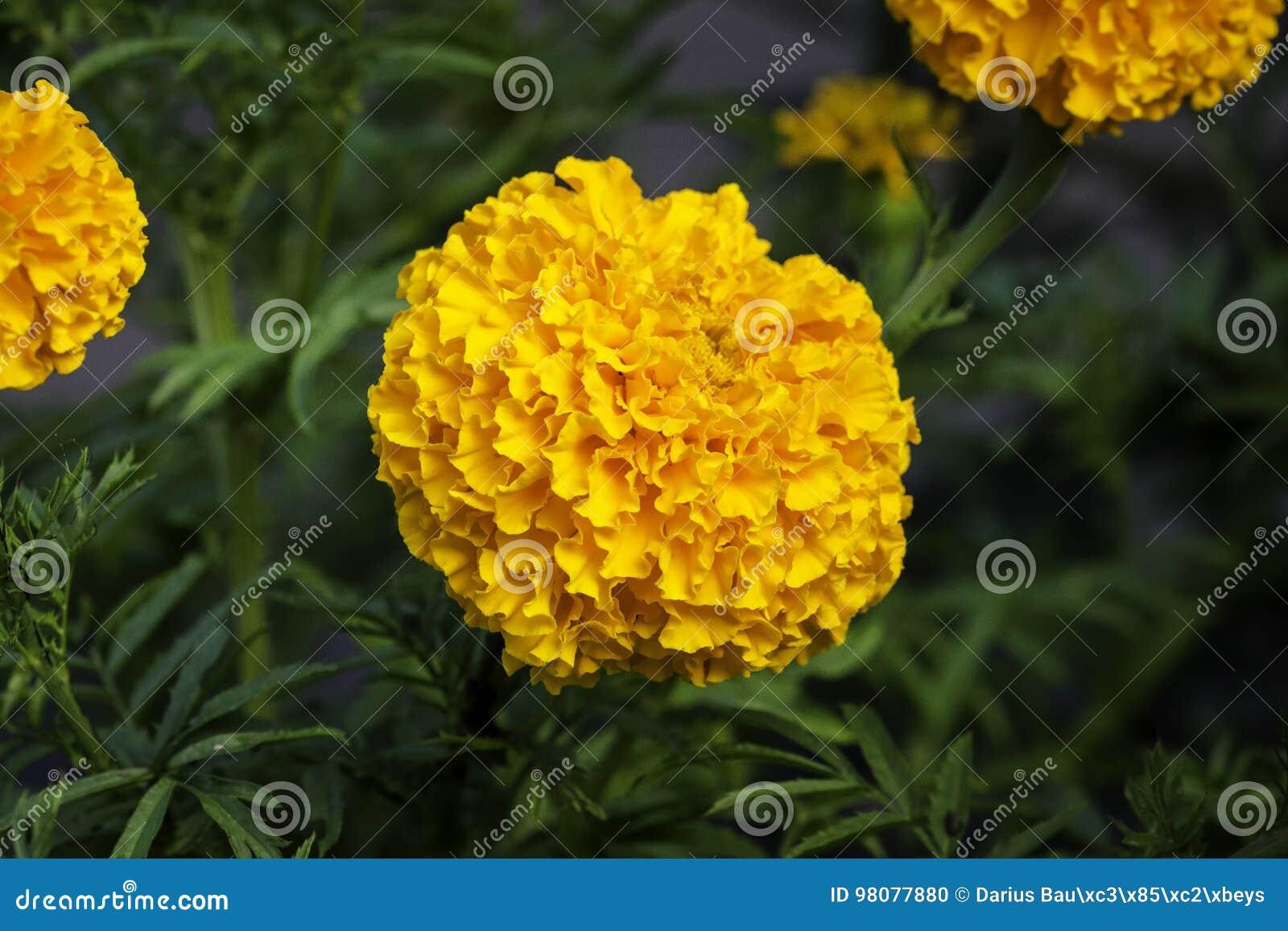 Franse goudsbloem
