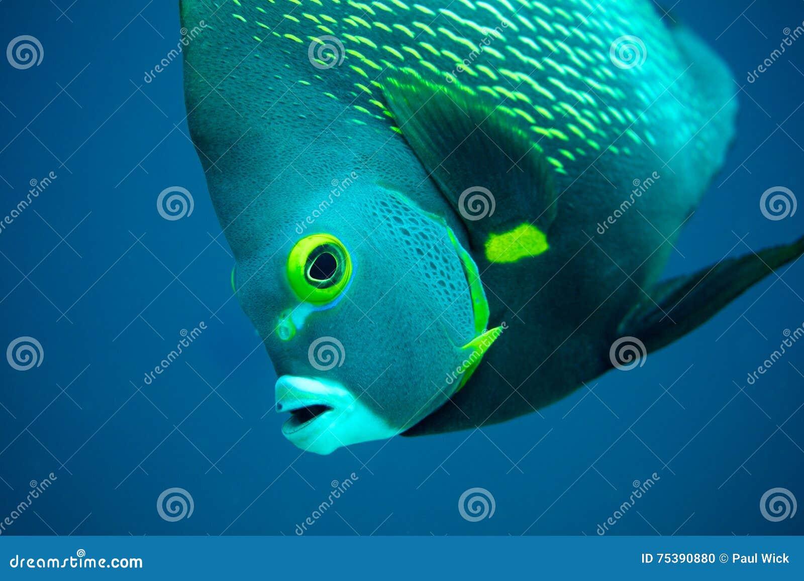 Fransk ängelfisk