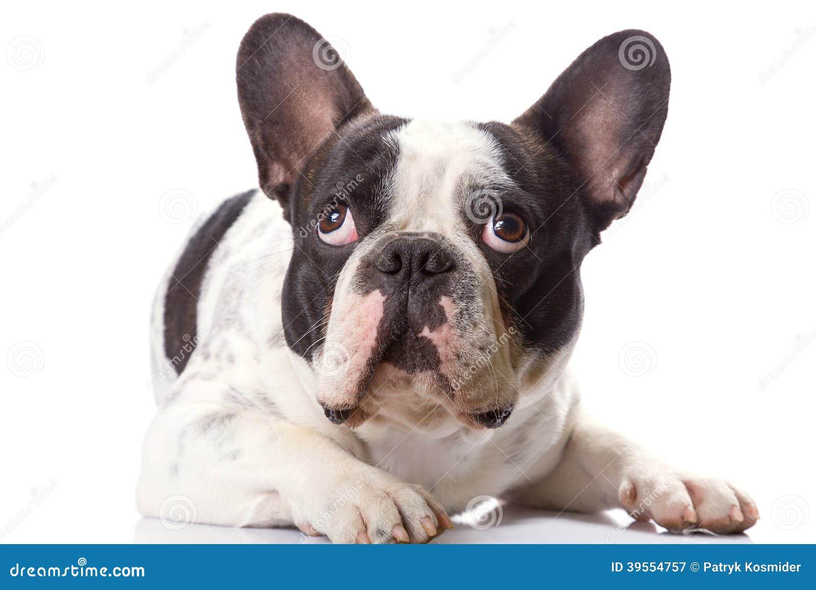 Fransk bulldogg över vit.