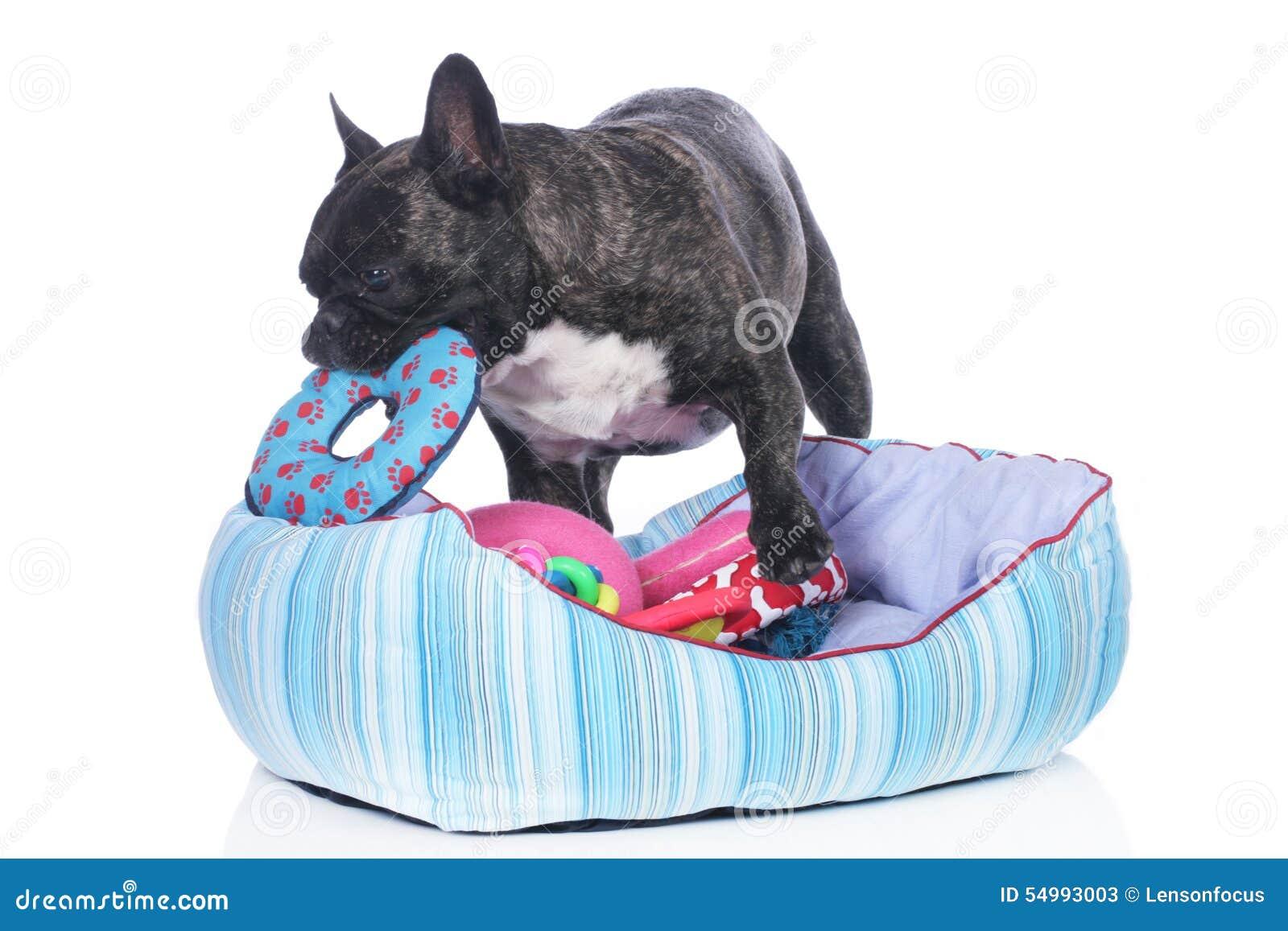 Fransk bulldogg med hundsäng och massor av leksaker
