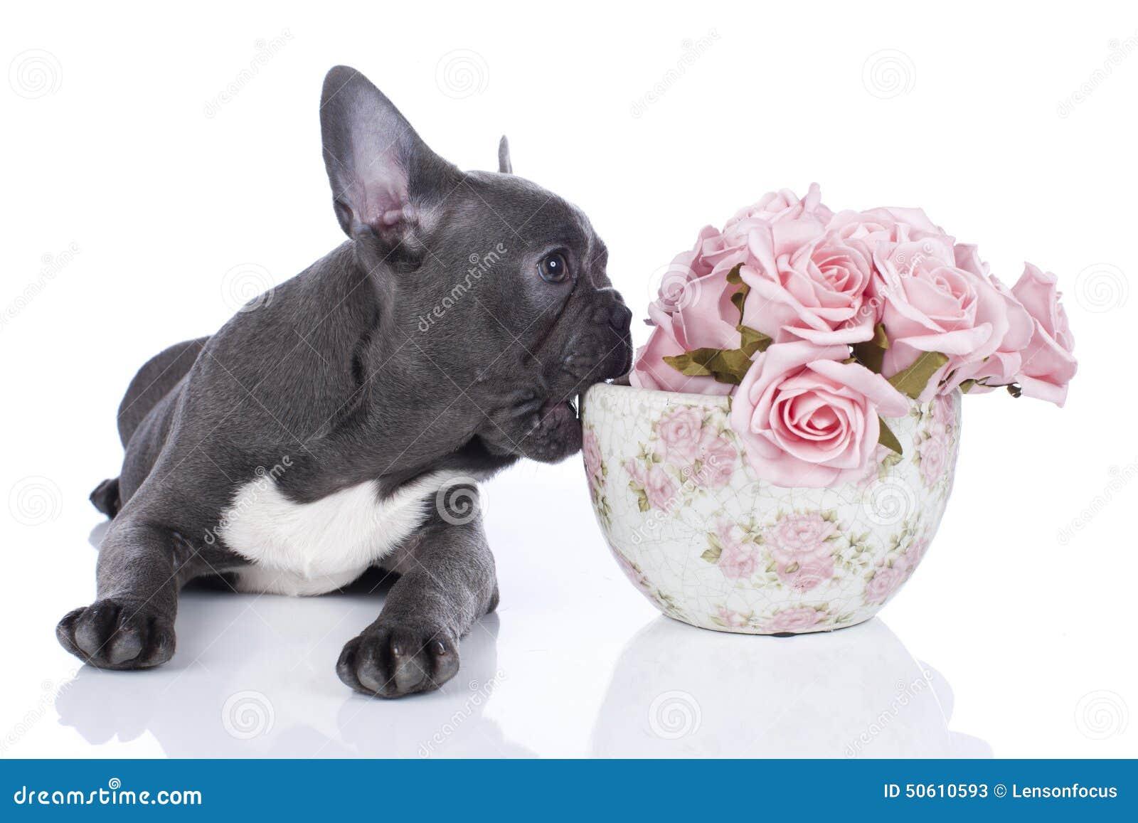 Fransk bulldogg med krukan av blommor
