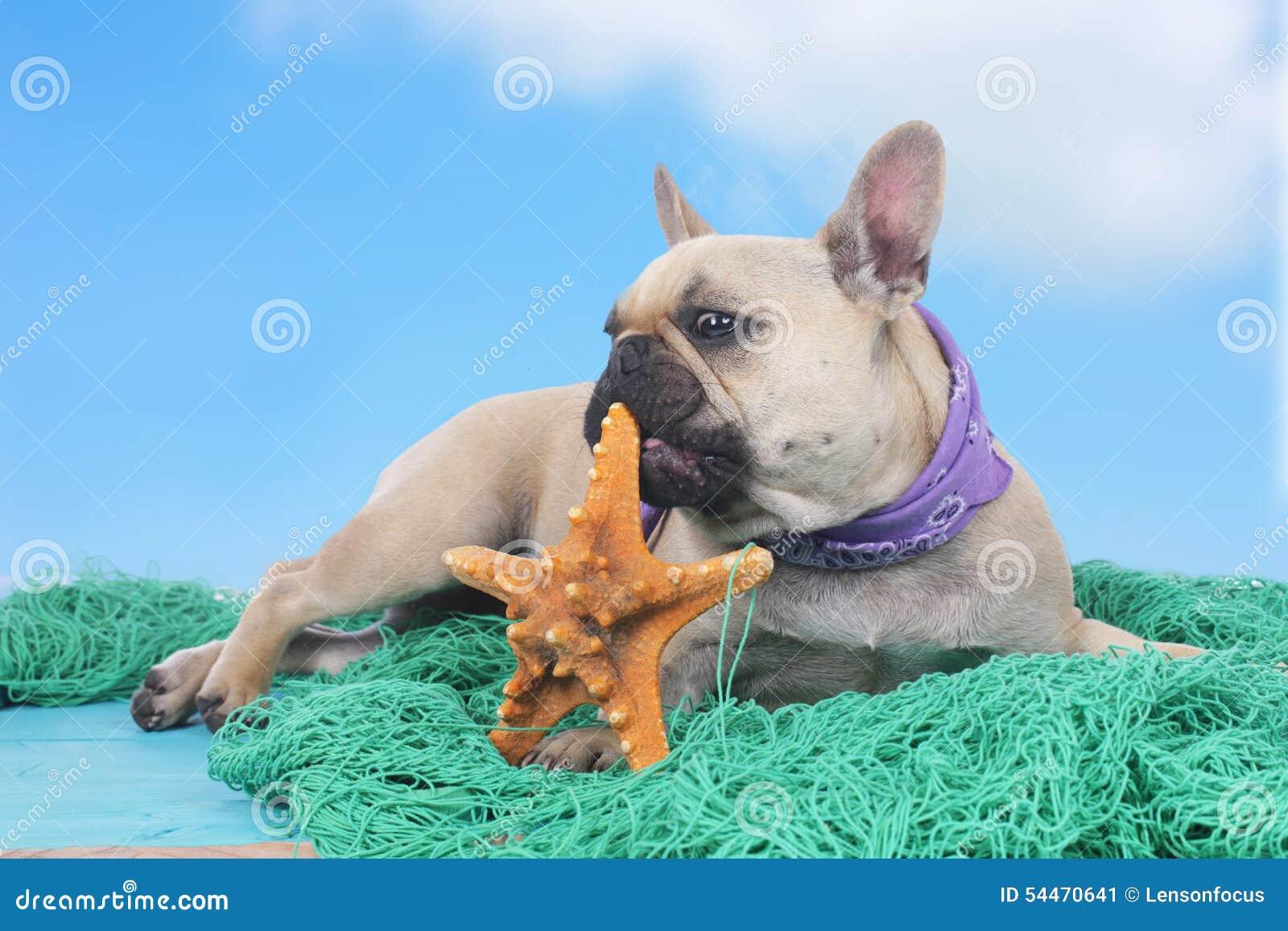 Fransk bulldogg på ferier