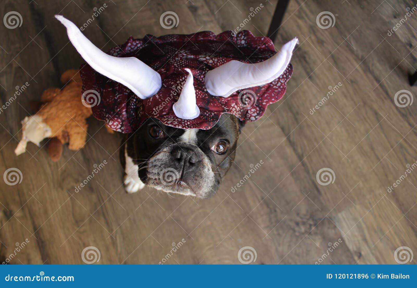 Fransk bulldogg som en Stegosaurus