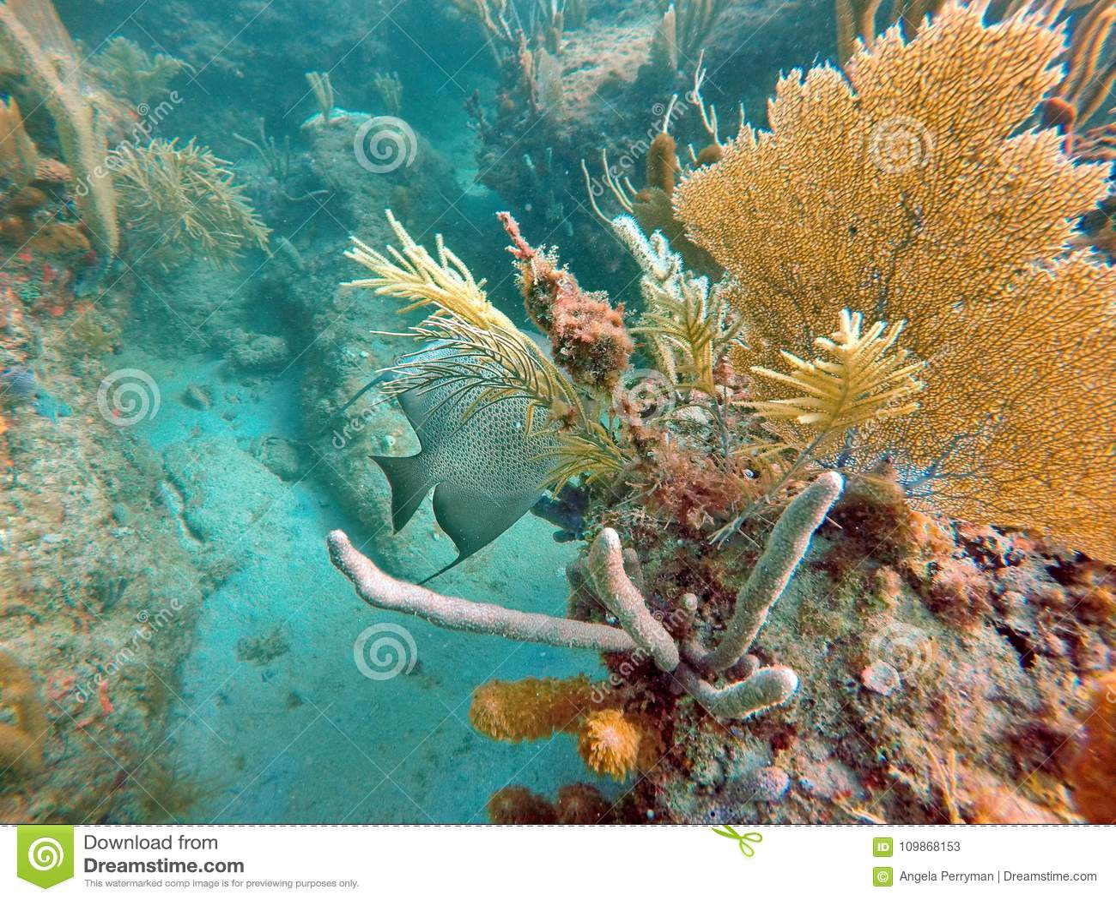Fransk havsängel bak en havsfan