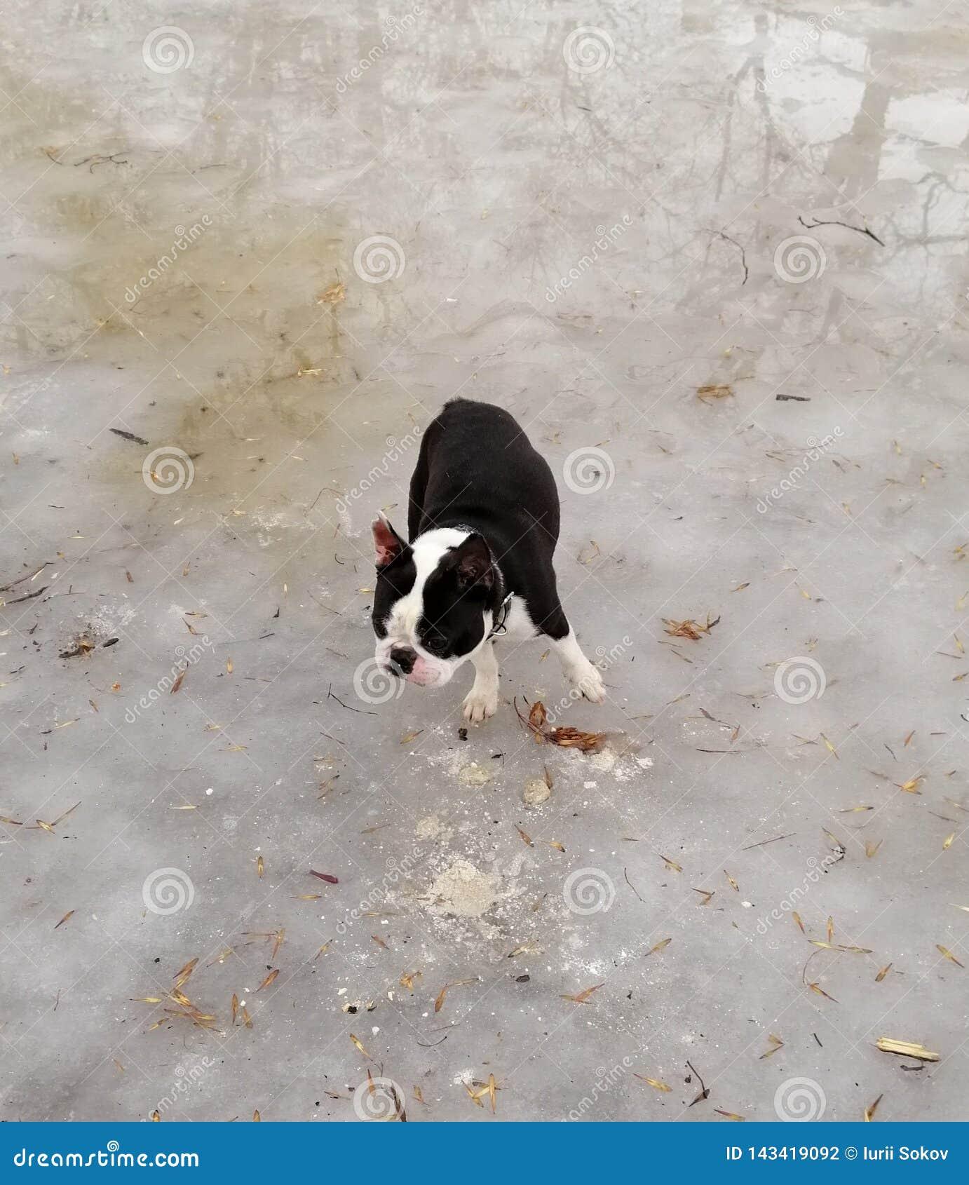 Französische Bulldogge auf Eis im Park