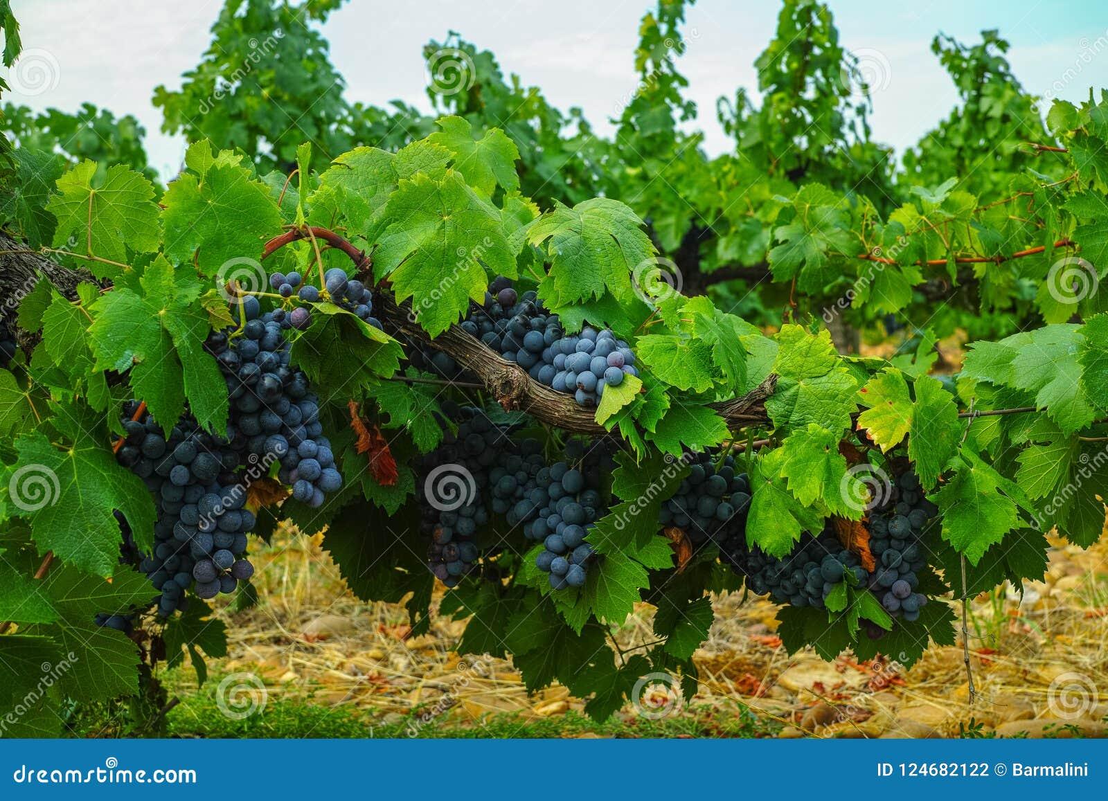 Französische rote und rosafarbene Weinrebeanlage, erste neue Ernte des Weins