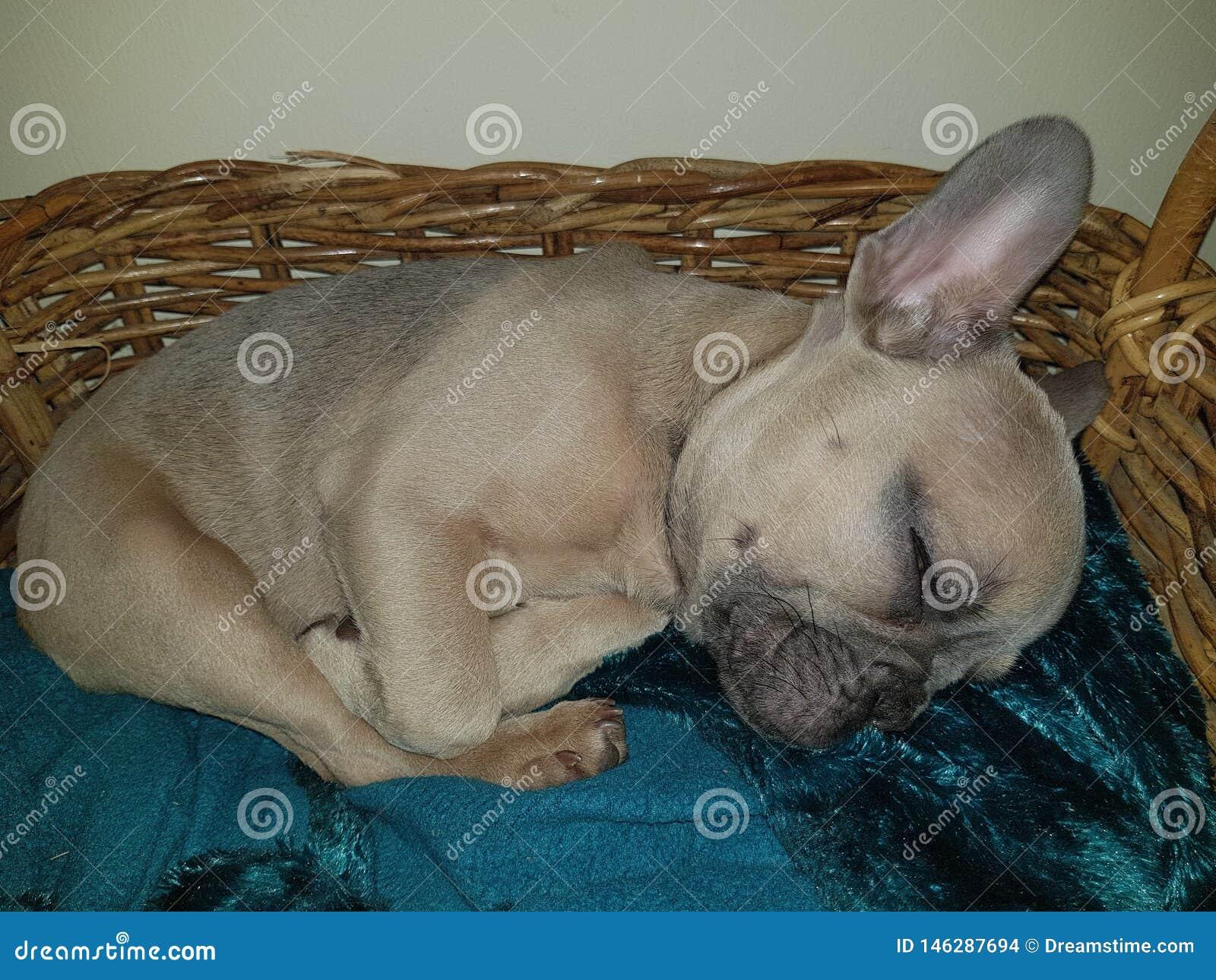 Franz?sische Bulldogge