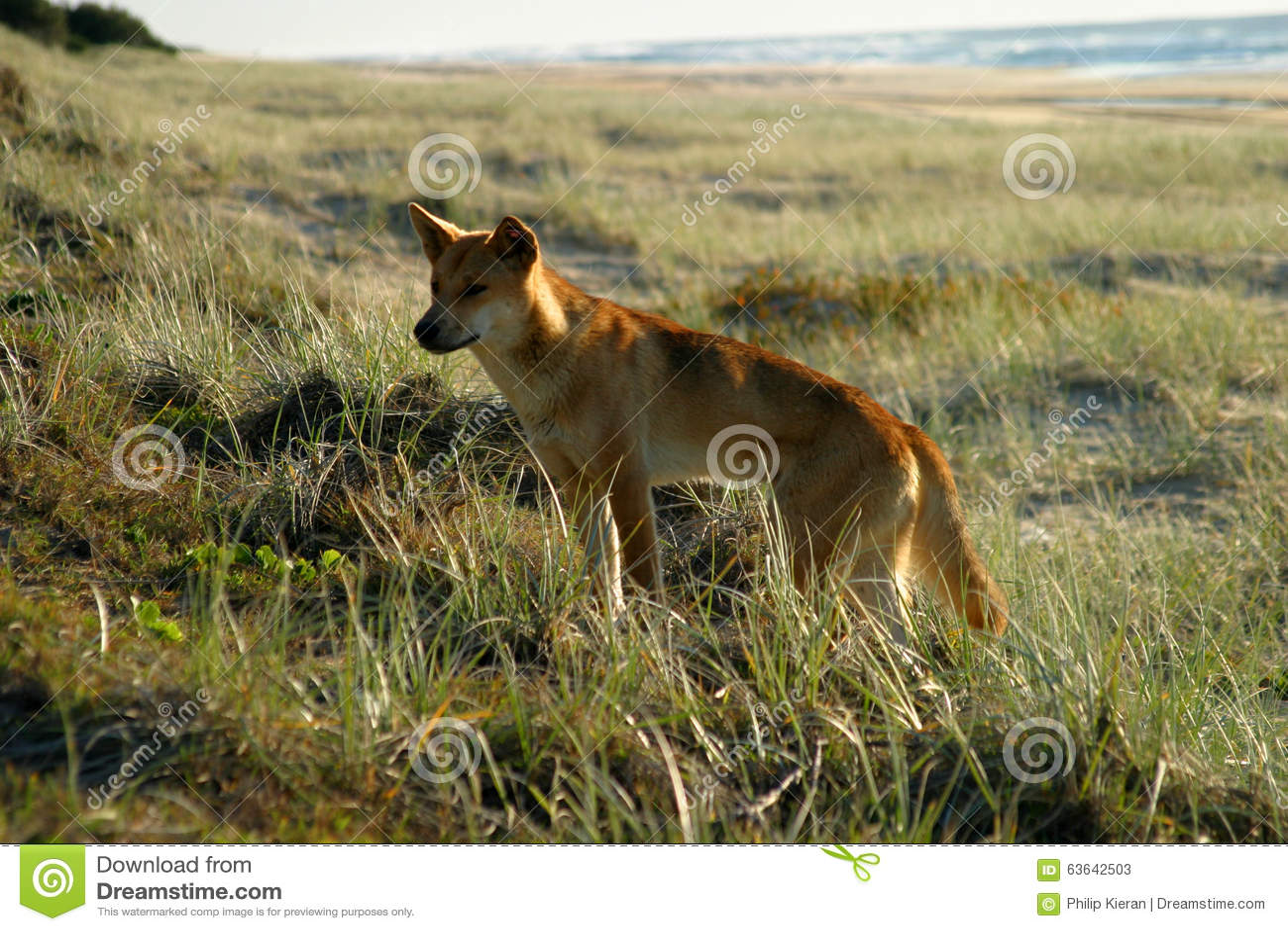 Fraser Island Australia Dingo Stock Image - Image of road, wildlife