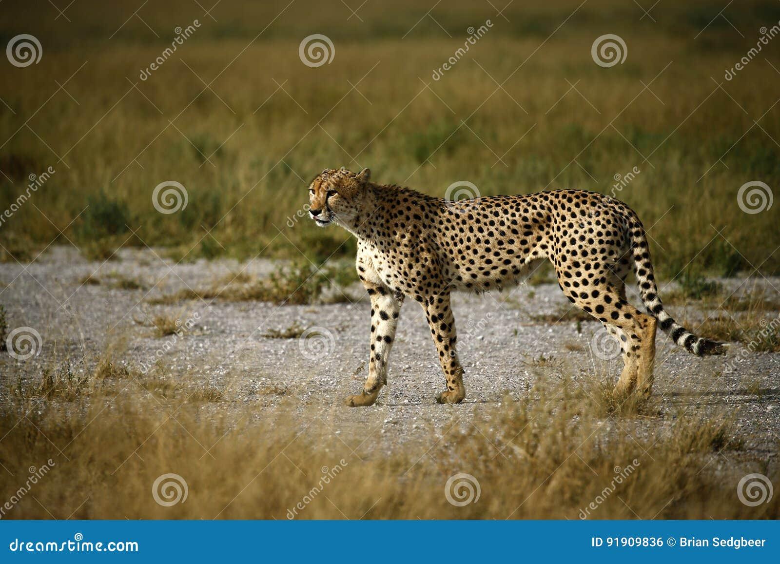Fratelli del ghepardo