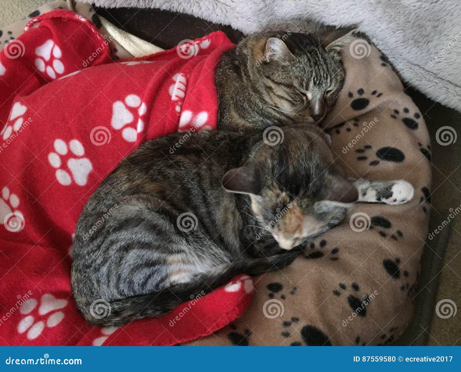 Fratello e sorella Tabby Cats Resting