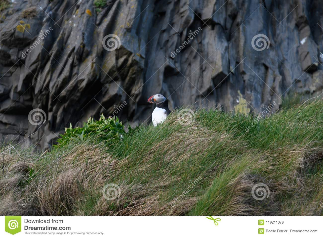 Fratercula arctica, Puffin of Iceland