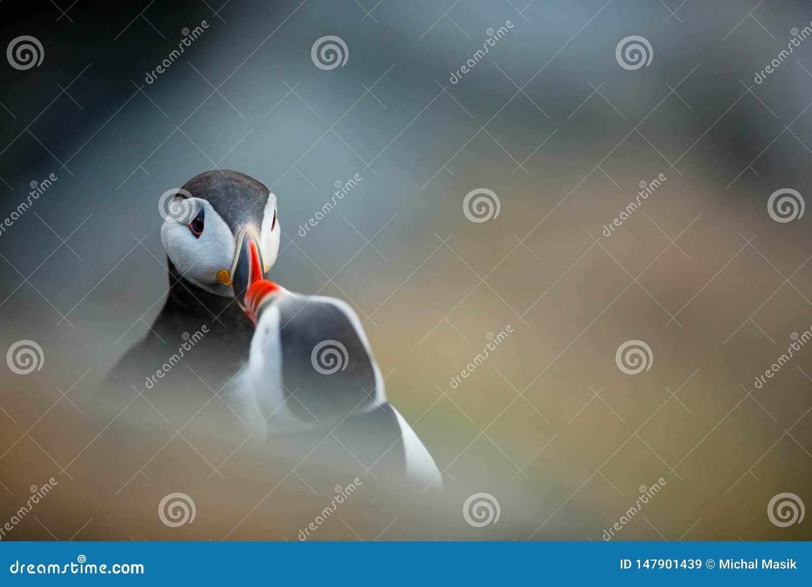 Fraterculaarctica Het wild van Noorwegen Mooi beeld Van het Leven van Vogels Vrije Aard Rundeeiland in Noorwegen Sandinavian