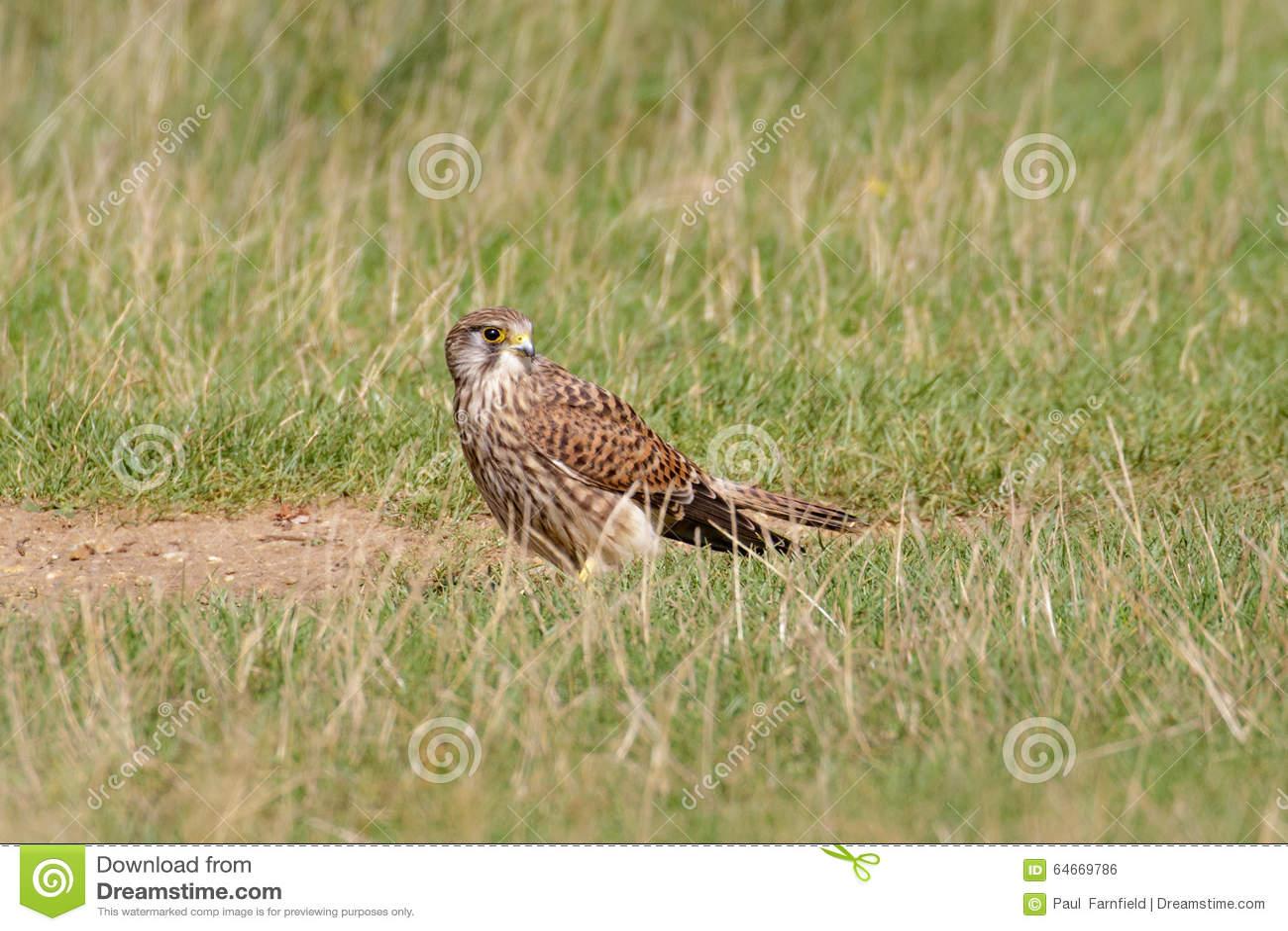 Frau-gemeiner Turmfalke (Falco-tinnunculus) aus den Grund
