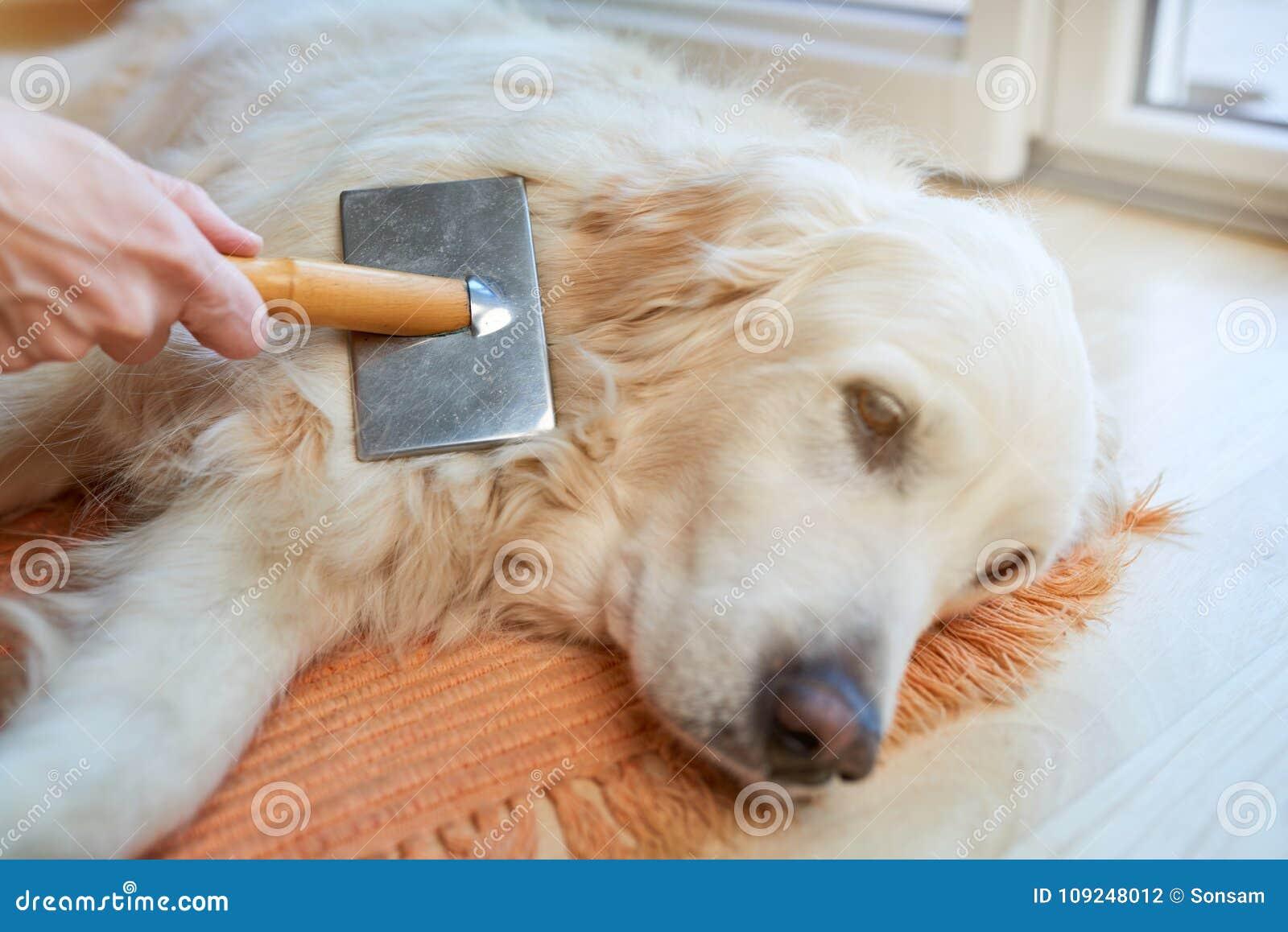 Frau kämmt alten golden retriever-Hund mit einem Metallpflegenkamm