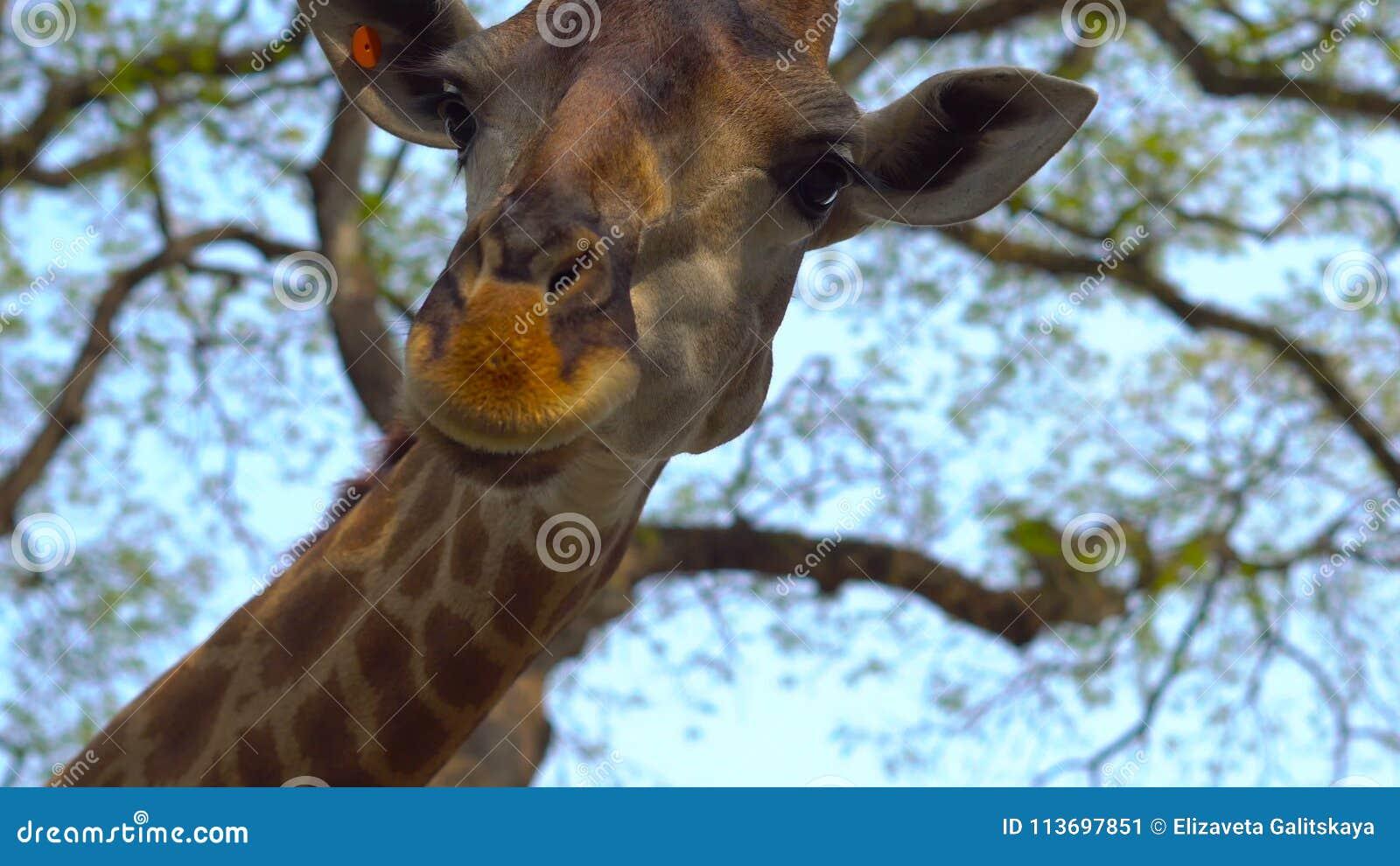 Giraffe zum Ziehen Holzspielzeug