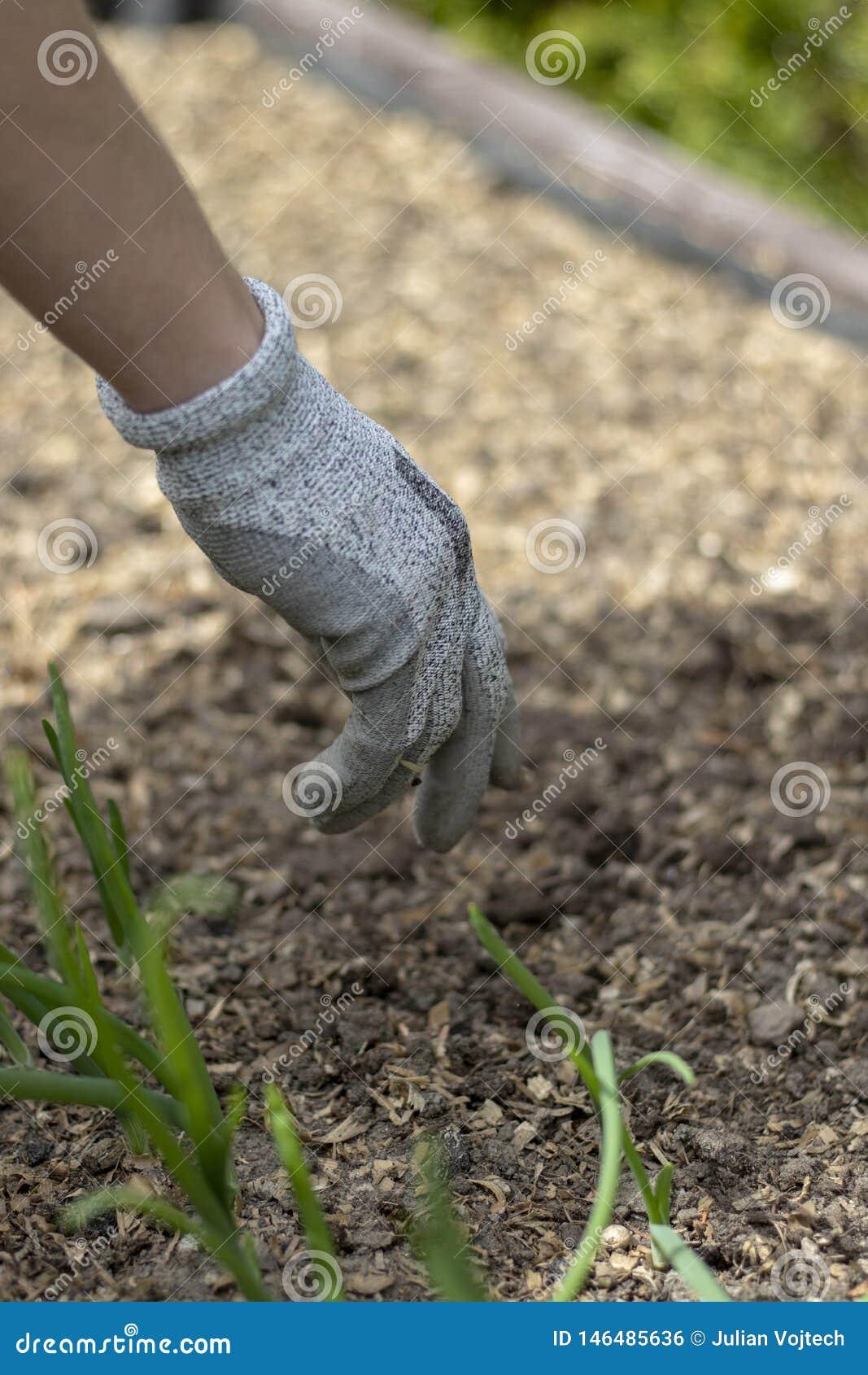 Frau, welche die Schutzhandschuhe, pflanzend im Boden trägt
