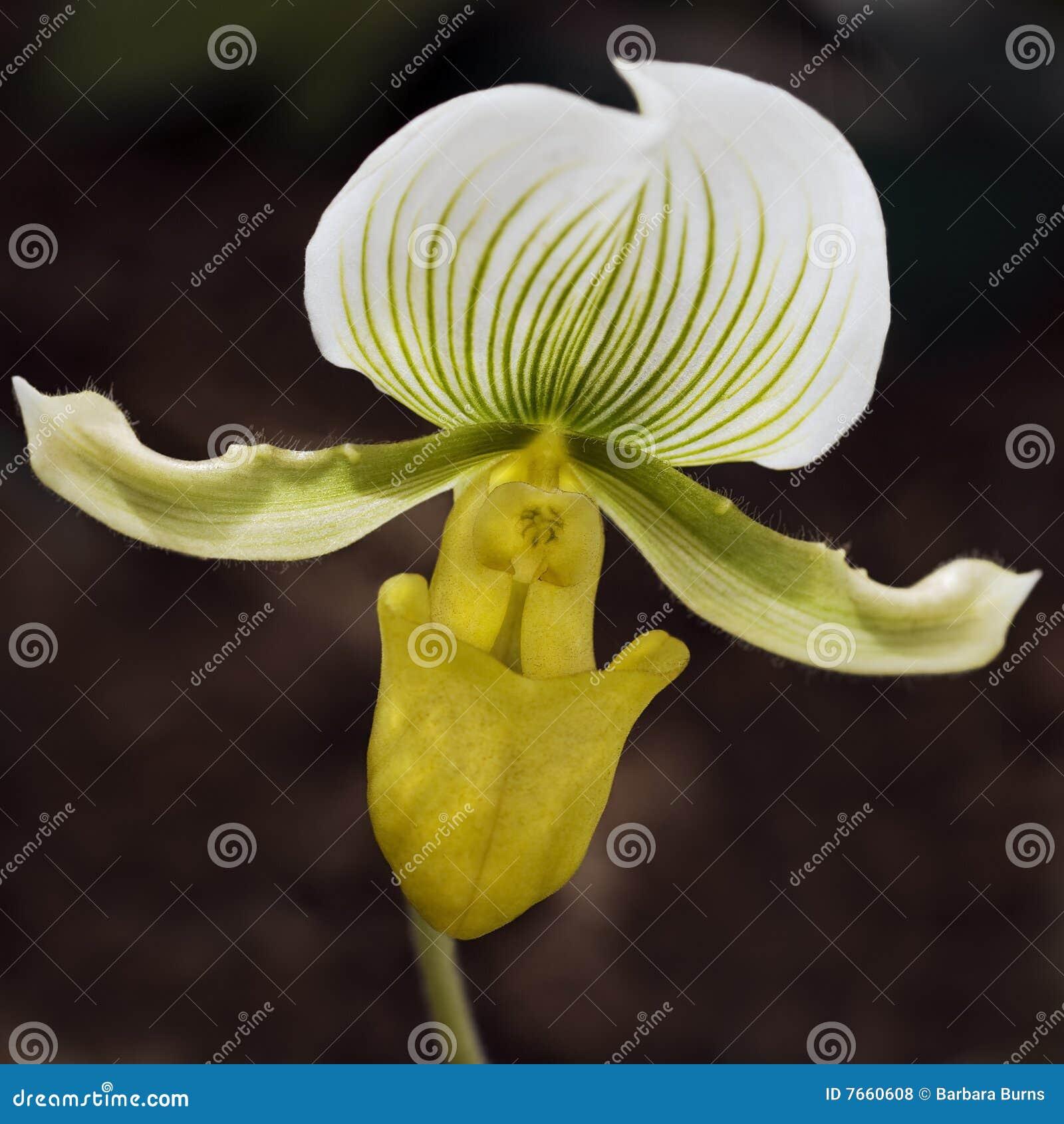 frauenschuh orchidee lizenzfreie stockfotos bild 7660608. Black Bedroom Furniture Sets. Home Design Ideas