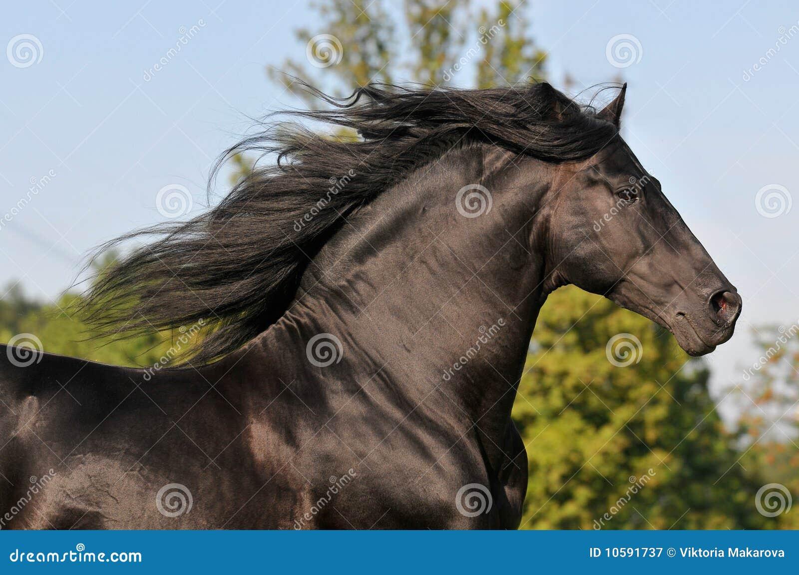The free black horse run gallop