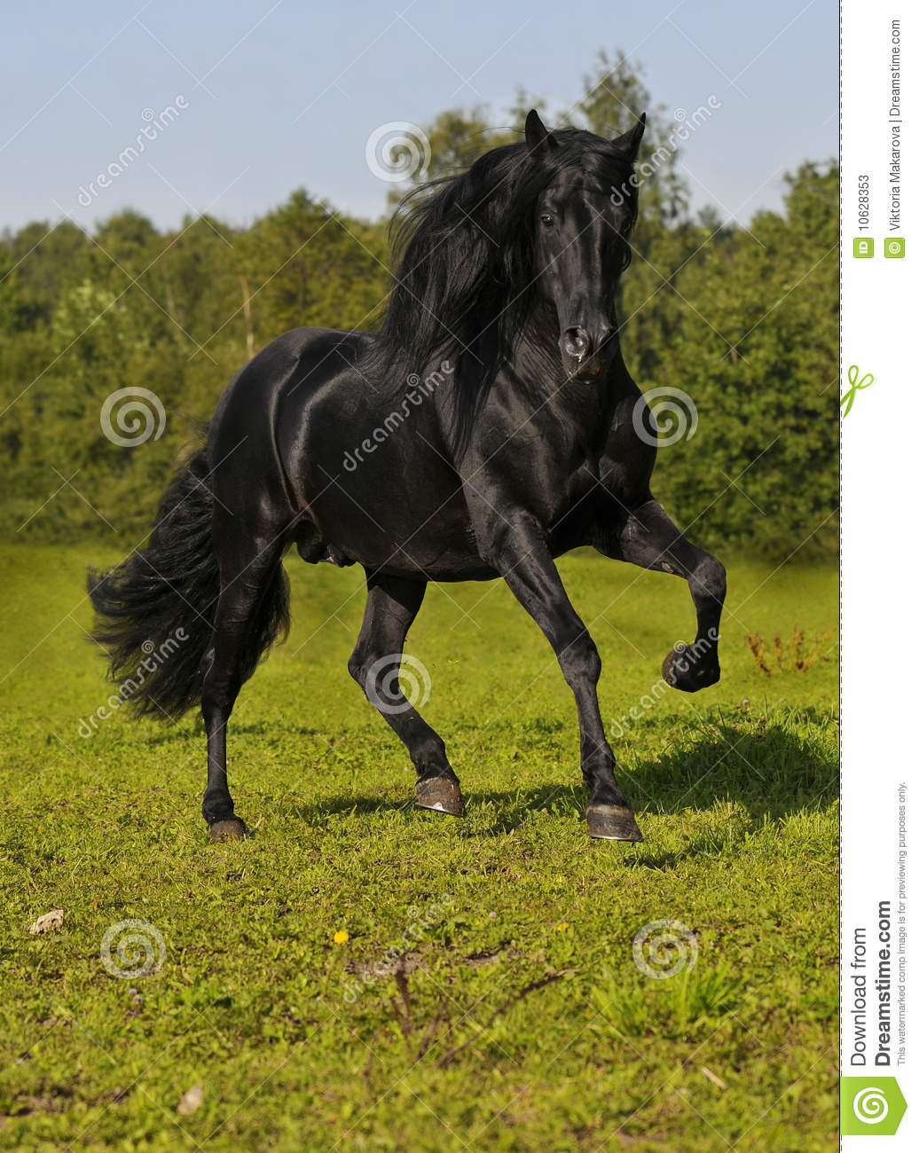 The free black horse run gallop on the field
