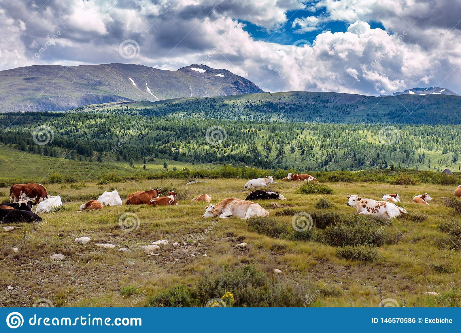 Free cows are resting on a mountain pasture in summer day. Cows graze freely in the mountains, lie on the ground against the
