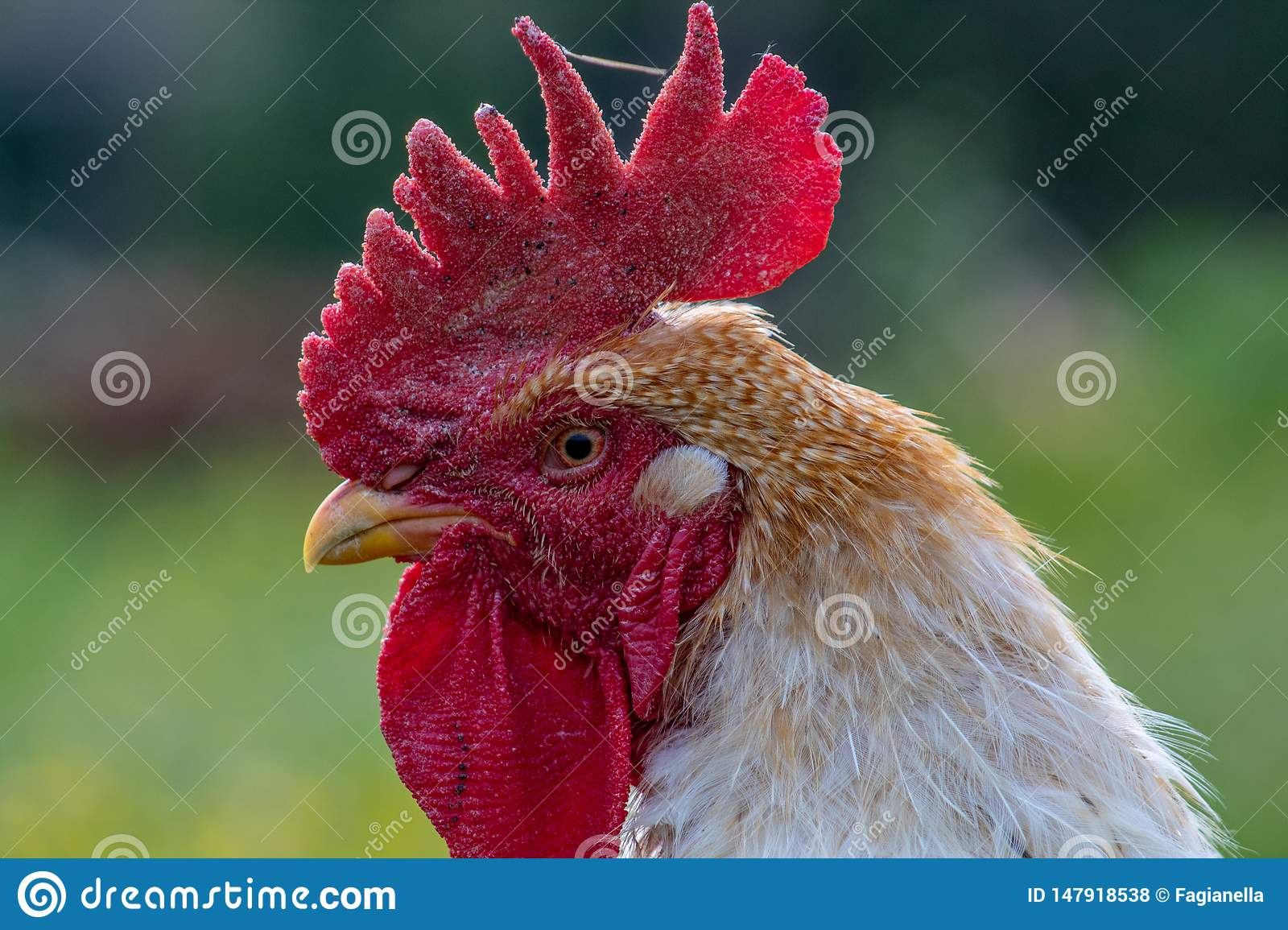 Free range chicken, happily roaming and pecking in a field. Farm life, italian country house