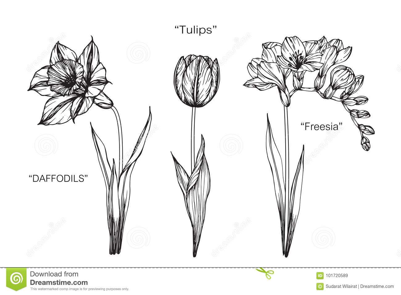 freesia daffodil tulip flowers drawing and sketch stock