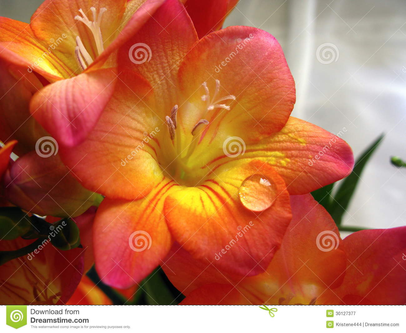 Freesia Flower With A Water Drop Stock Image - Image: 30127377
