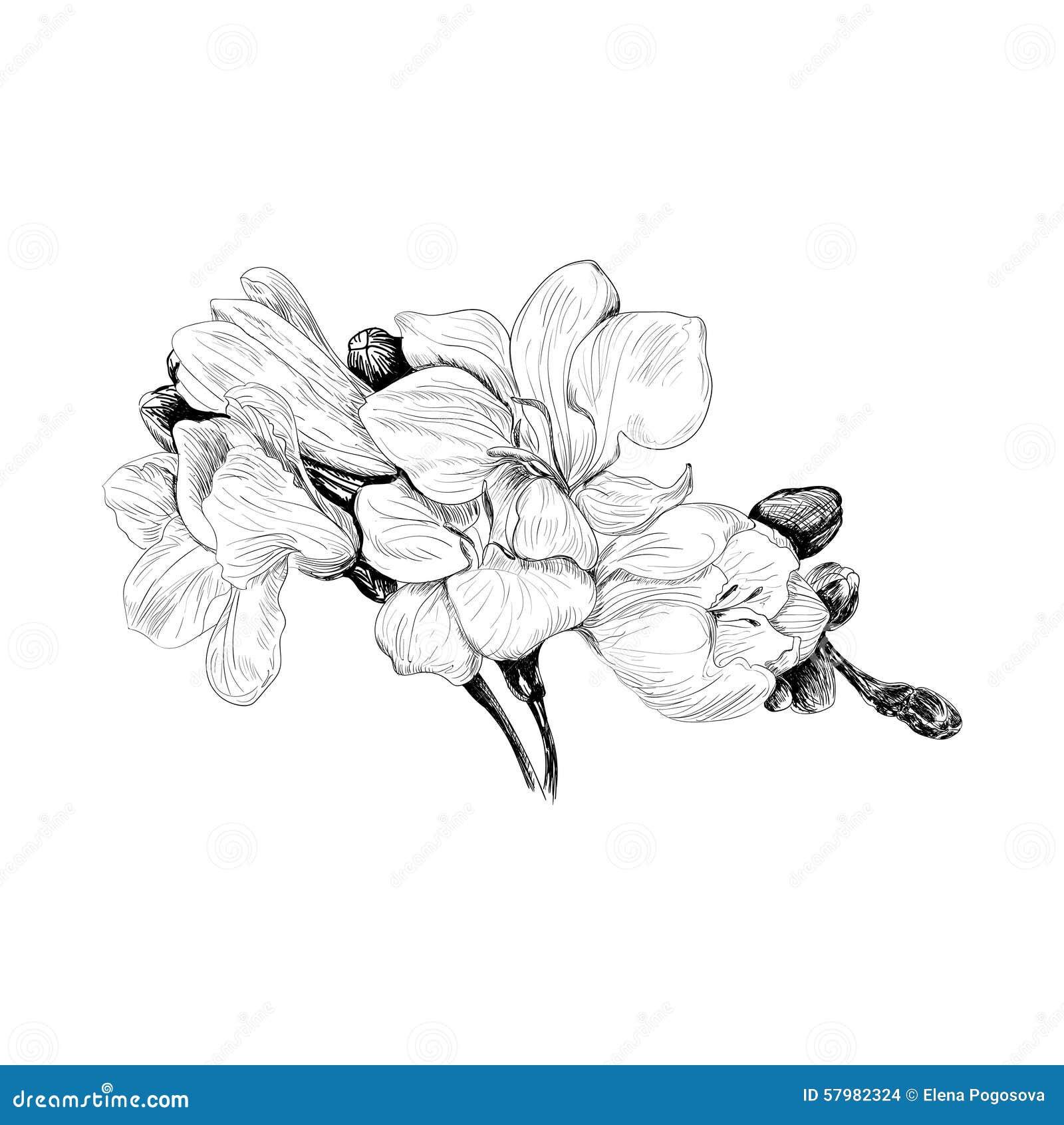 Freesia Flower Sketch Stock Vector. Illustration Of Flower - 57982324