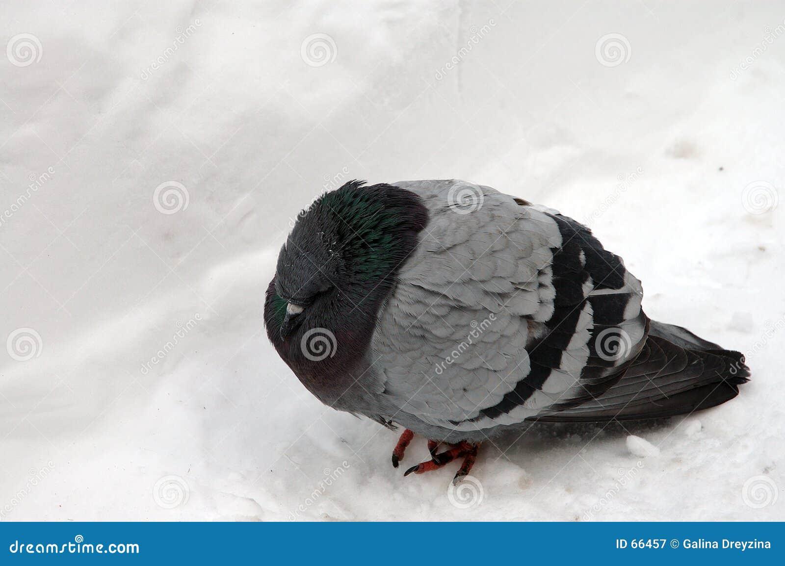 Freezing pigeon