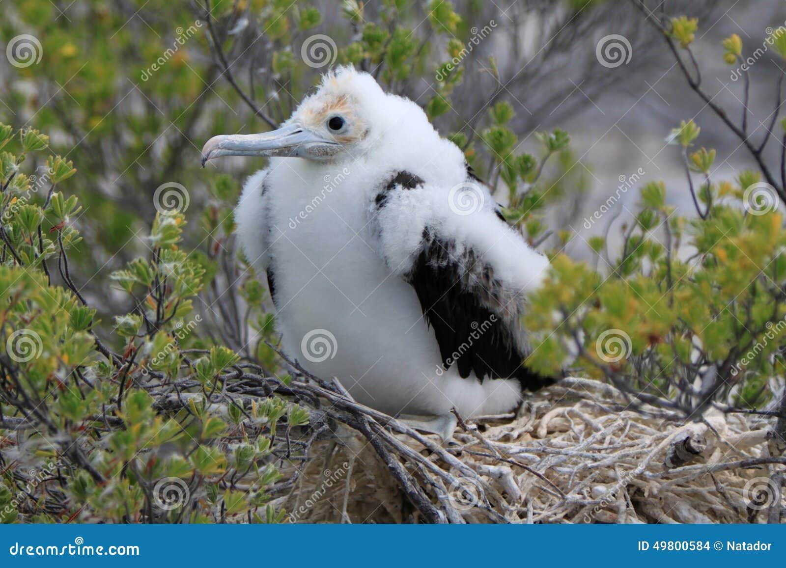 Fregatte-Vogel-Küken