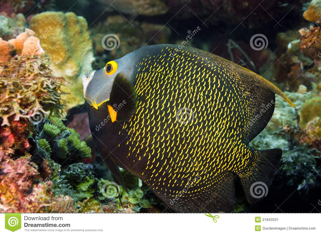 French angelfish hovers next to the reef displaying its vibrant