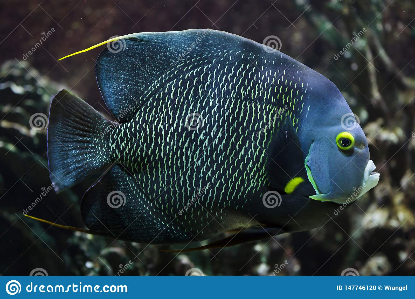 French angelfish Pomacanthus paru