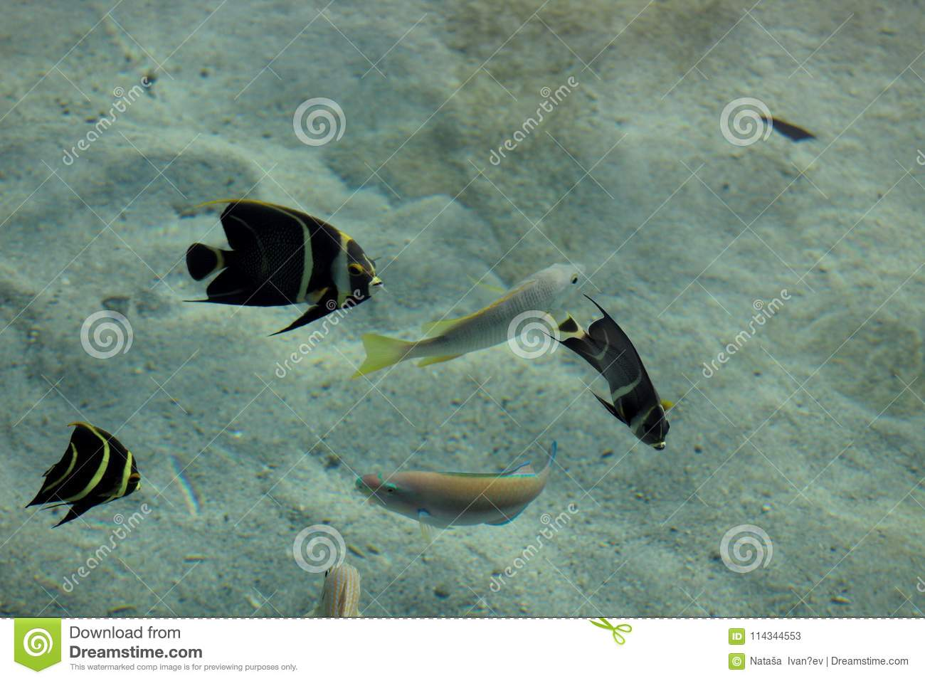 French angelfish in the sea