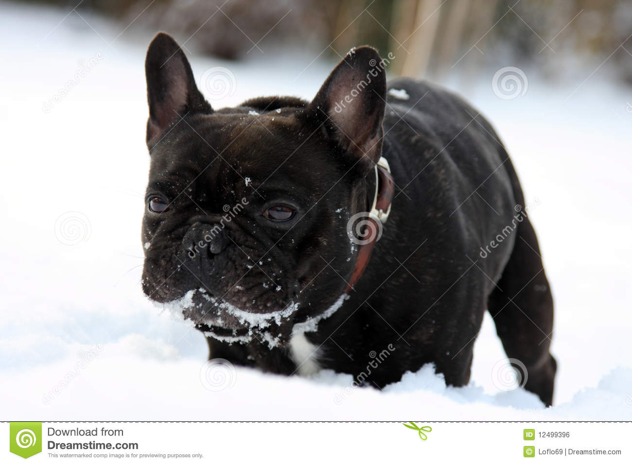 french bull dog stock photography  image  - french bull dog in snow royalty free stock image