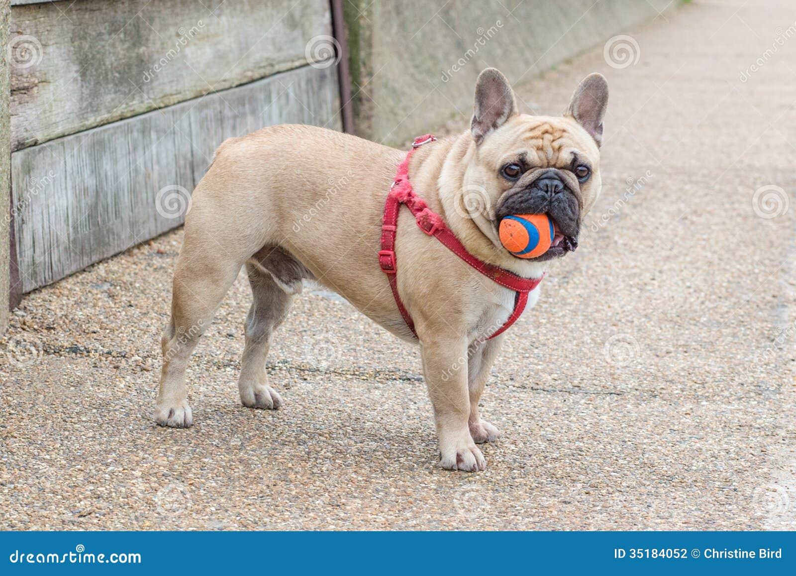 french bull dog stock photo image of standing bulldog   - french bull dog