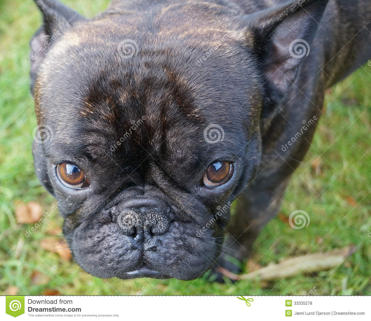 A French Bulldog Stock Photo Image Of French Black 33335278