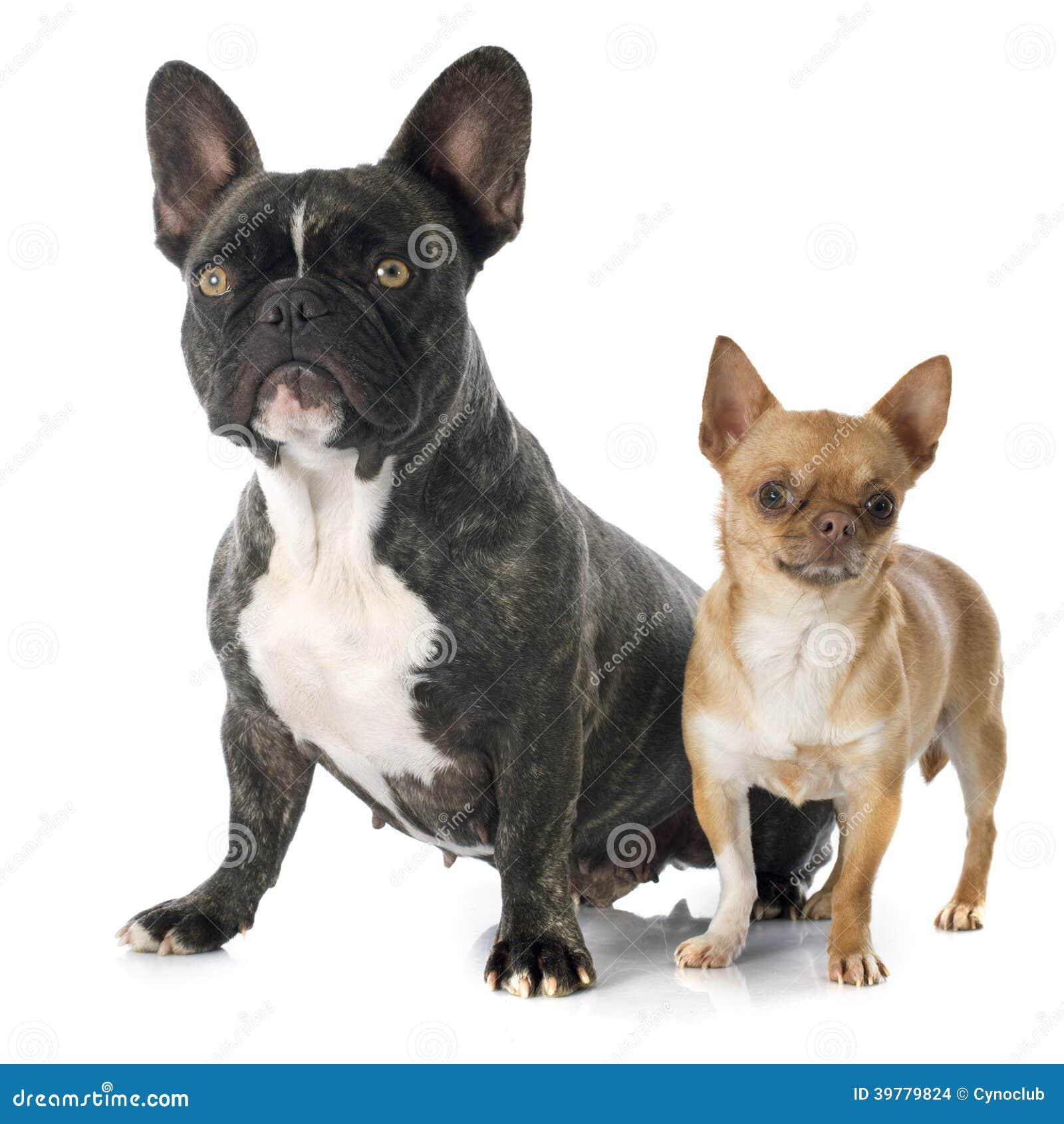 French Bulldog And Chi...