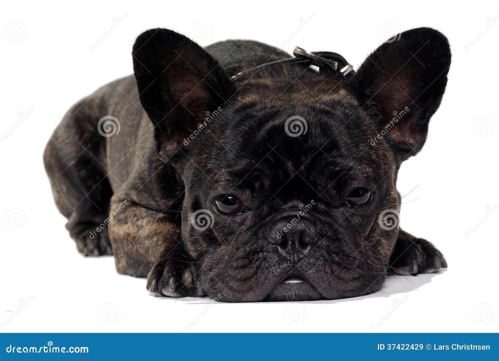 French Bulldog Dog On White Background Stock Image Image