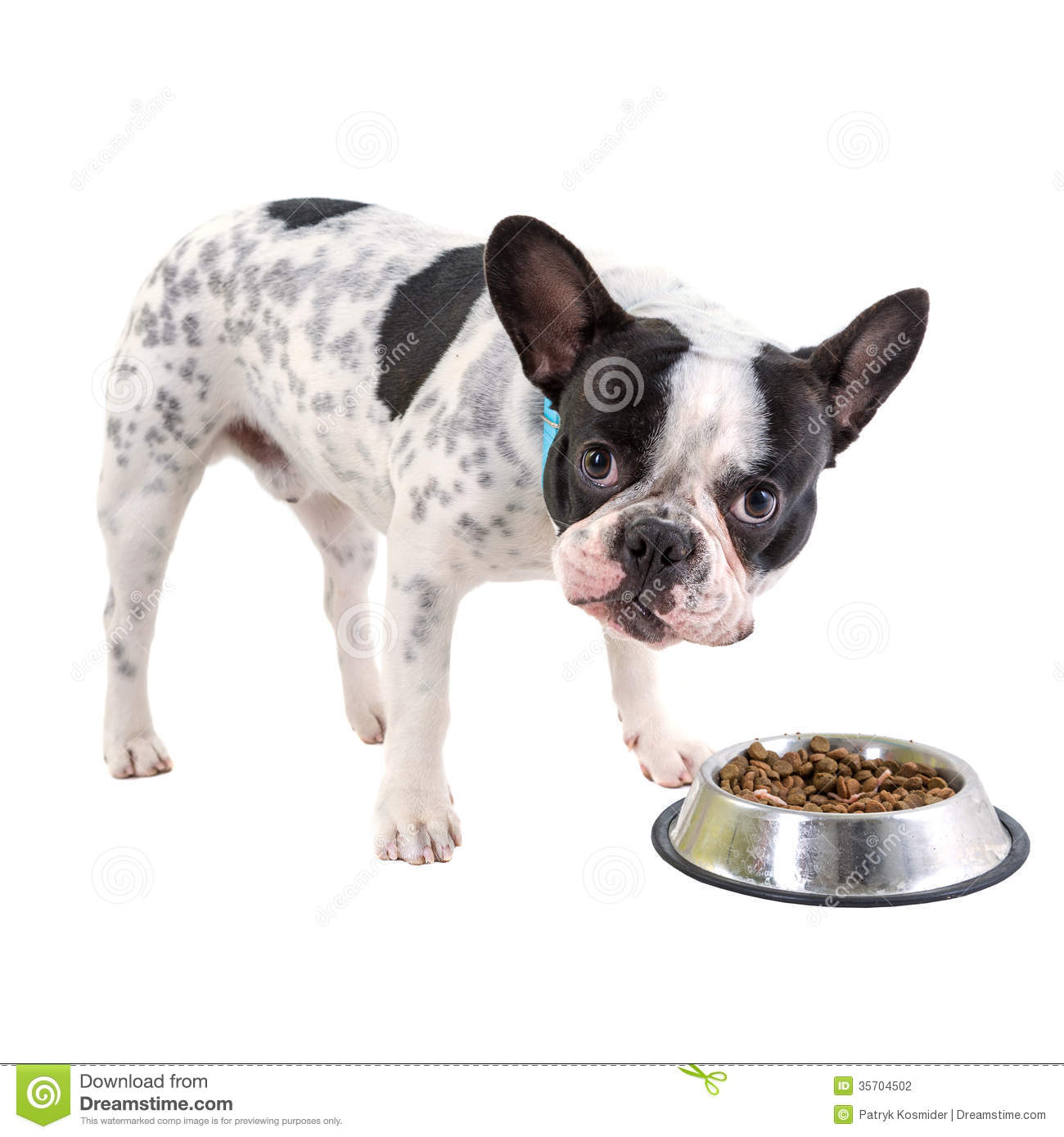 french bulldog eating dog food stock photography image