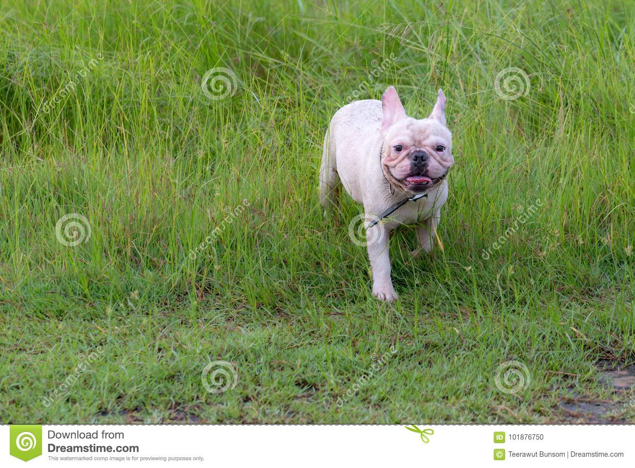 French Bulldog Excecise In The Field Stock Photo Image Of Jump