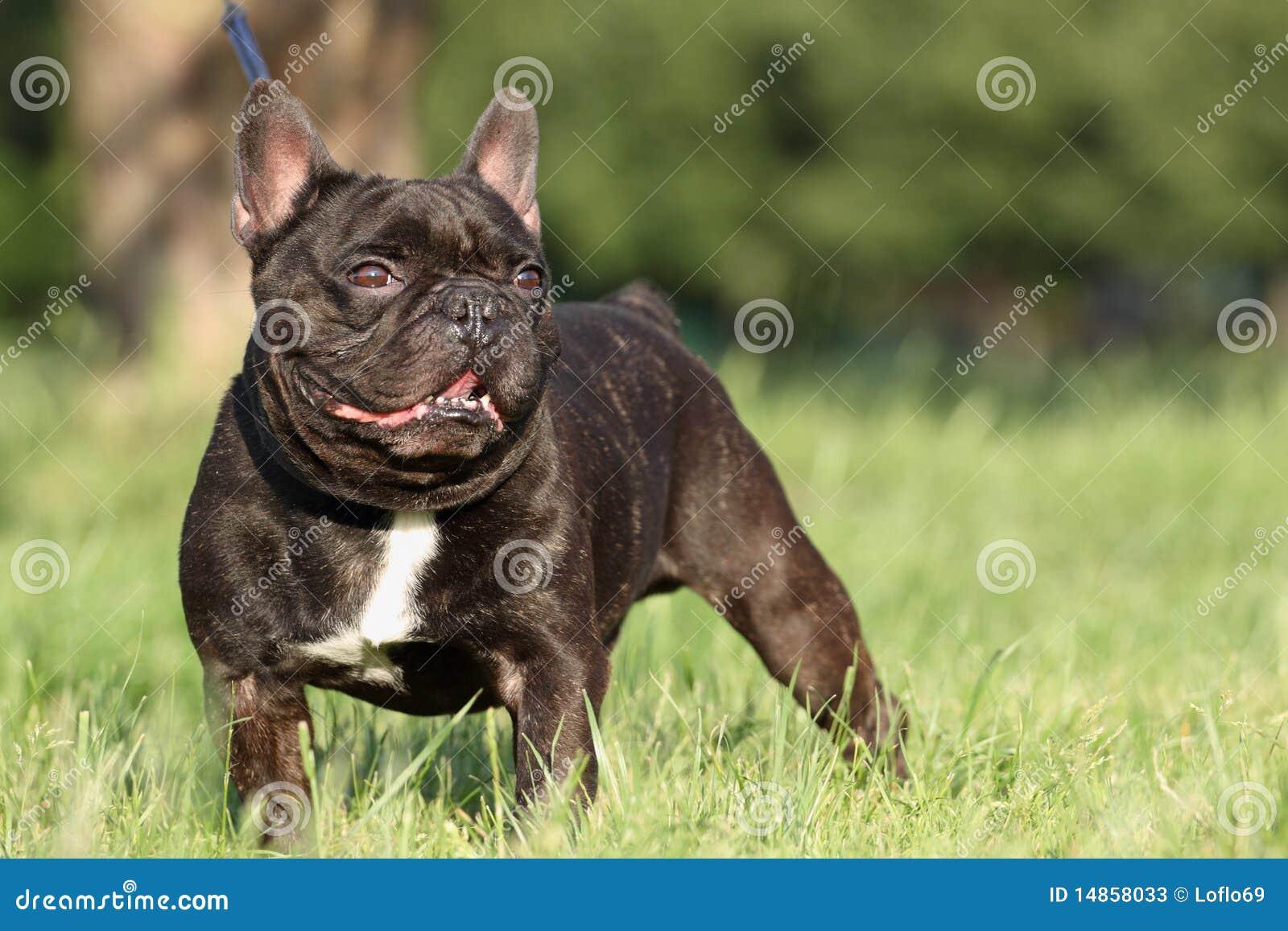 French Bulldog in field
