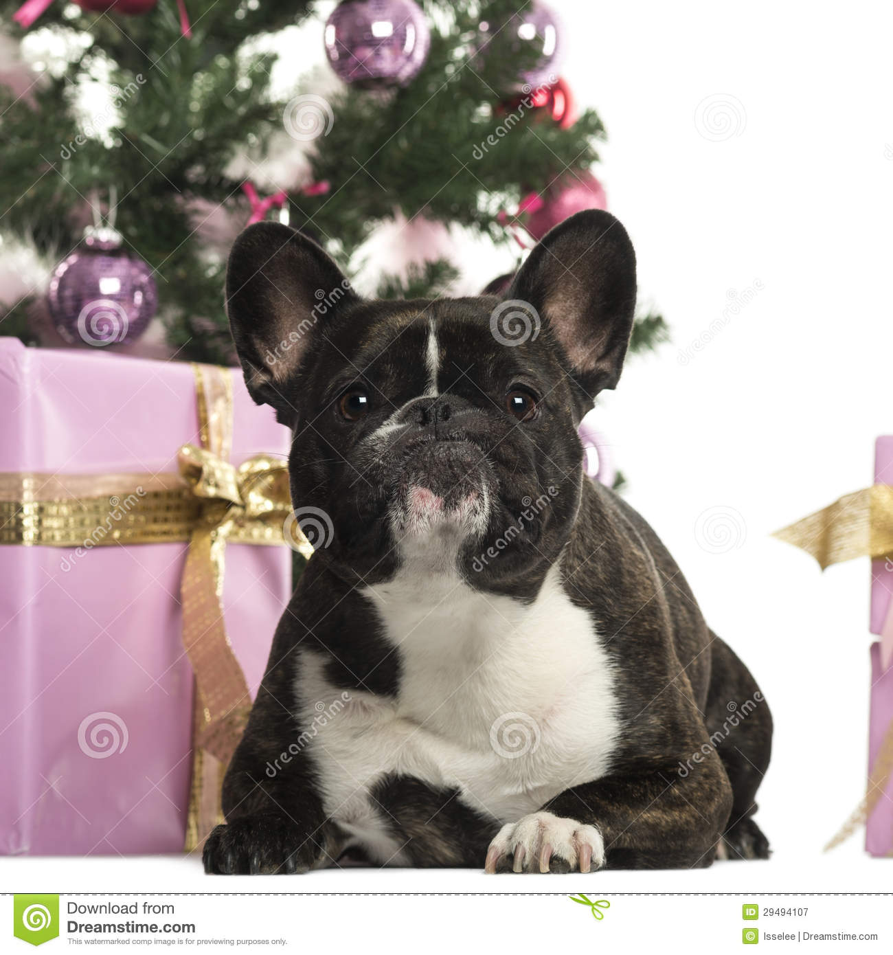 bulldog decorations french bulldog in front of christmas decorations royalty free stock photography 7112